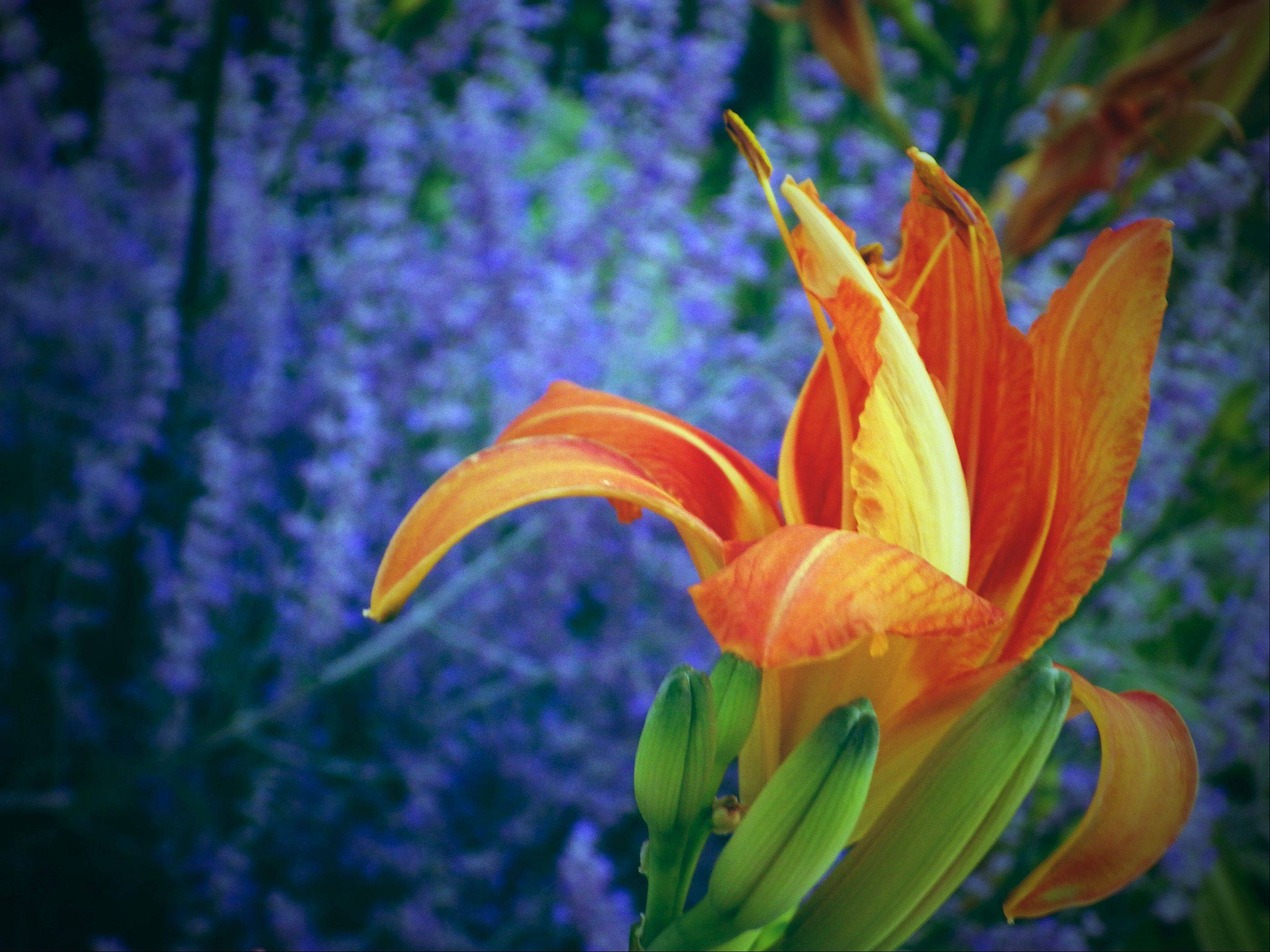 "I recently purchased a Pentax X5 camera and I was hunting around the property for interesting photo opportunities to try it out. All of our summer perennials were in bloom, including this Day Lily and the Russian Sage behind it serving as a complementing and contrasting back ground. I shot several exposures, selected what I thought was the best of them, and then applied one of the digital creative filters, ""Toy Camera,"" to achieve this photo."