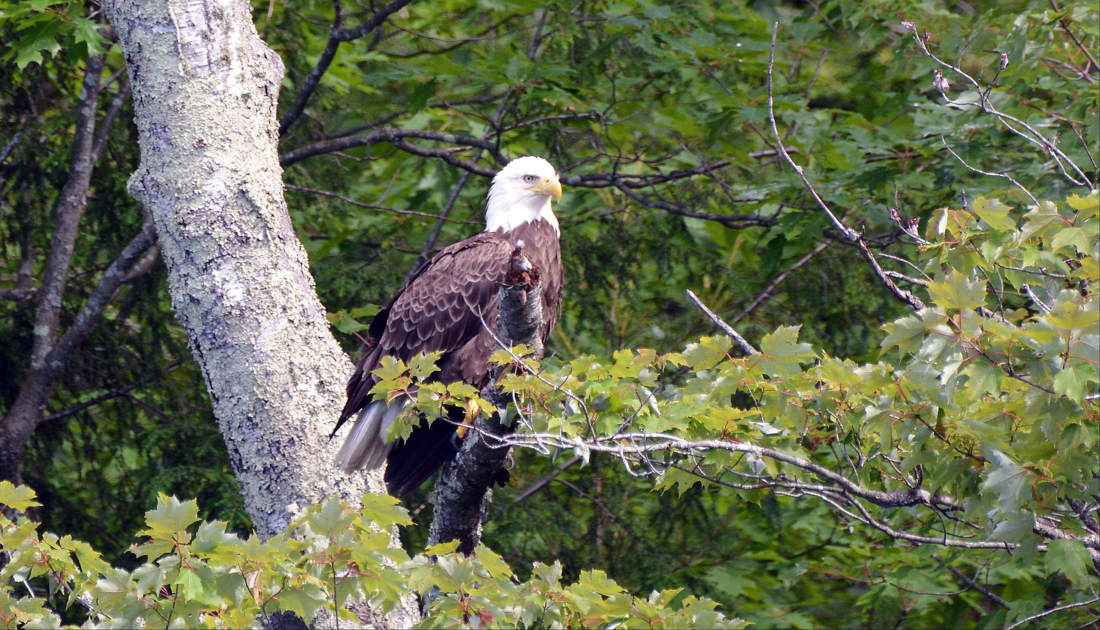 We were in Wisconsin on Blue Lake, just outside of Minocqua, for the Fourth of July week, and were amazed at the diversity and abundance of wildlife in the North Woods including this Bald Eagle perched in a tree. I never thought that I would be able to see a Bald Eagle in the wild, let alone capture its image so clearly. All were taken with my new Nikon D7100 which I had just received a couple of weeks earlier and was waiting for the right opportunity to test it out for the first time. I Couldn't have picked a better location to test out the camera.