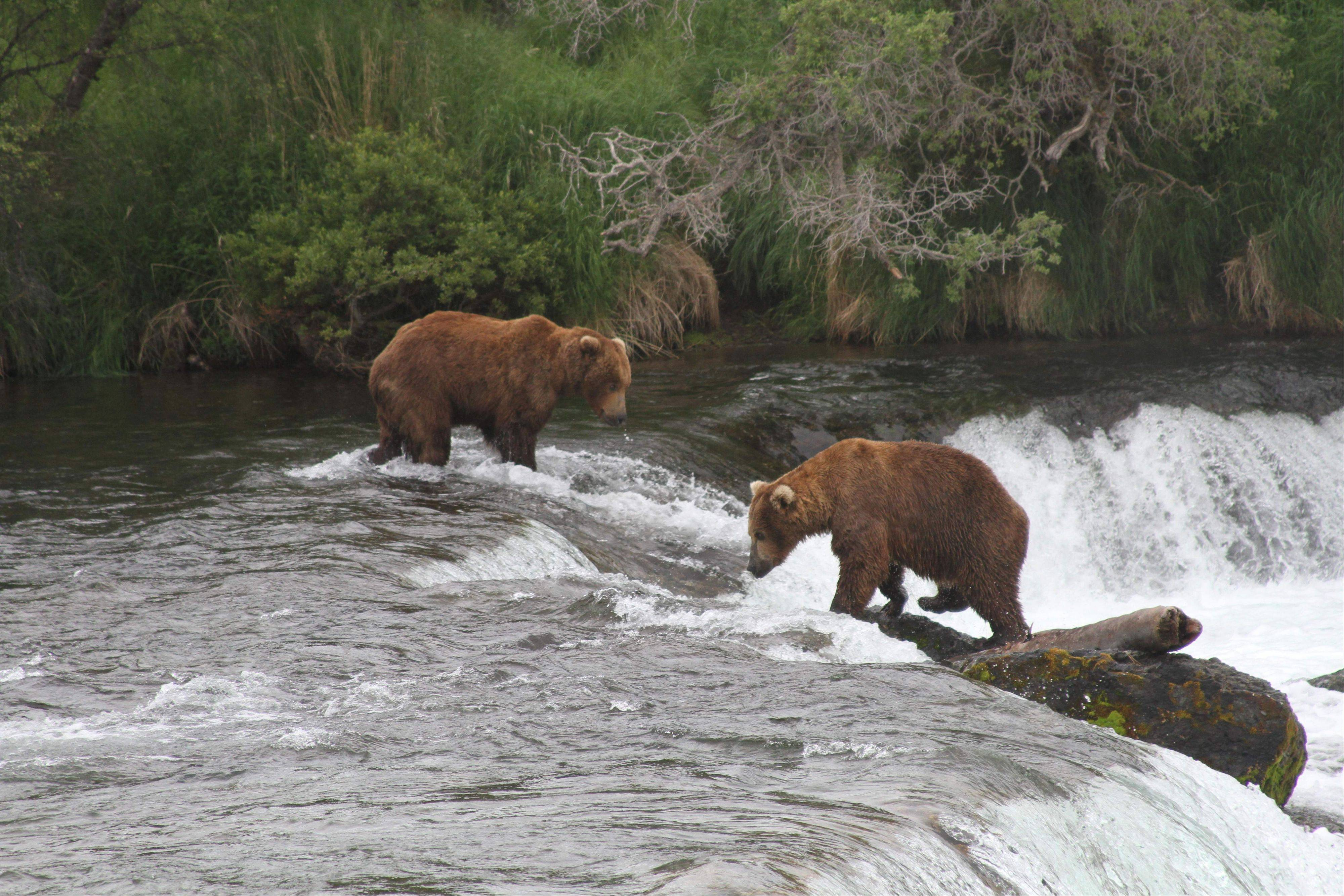 Two brown bears look for salmon at Brooks Falls in Alaska's Katmai National Park and Preserve.
