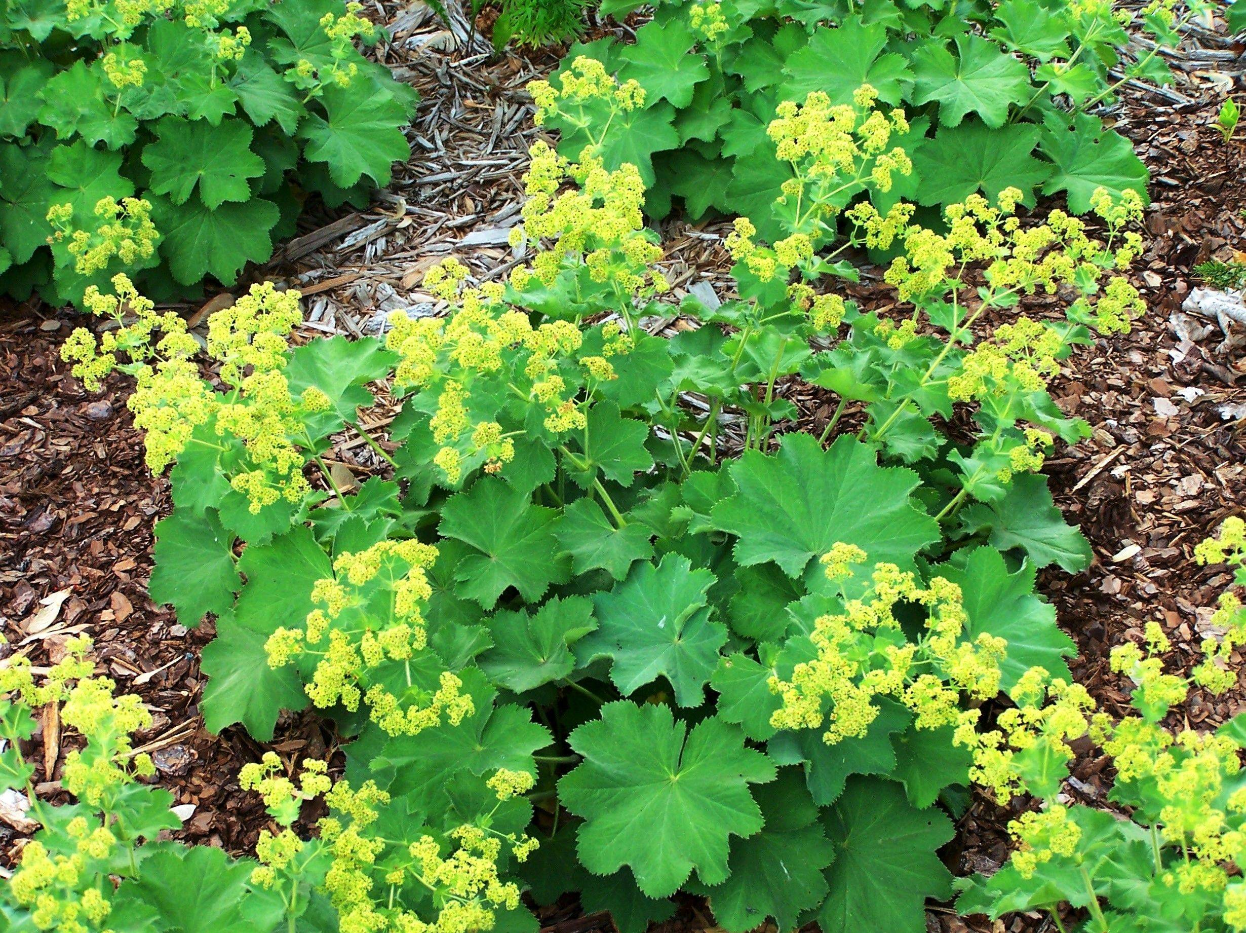 The flowers of lady's mantle appear in July.