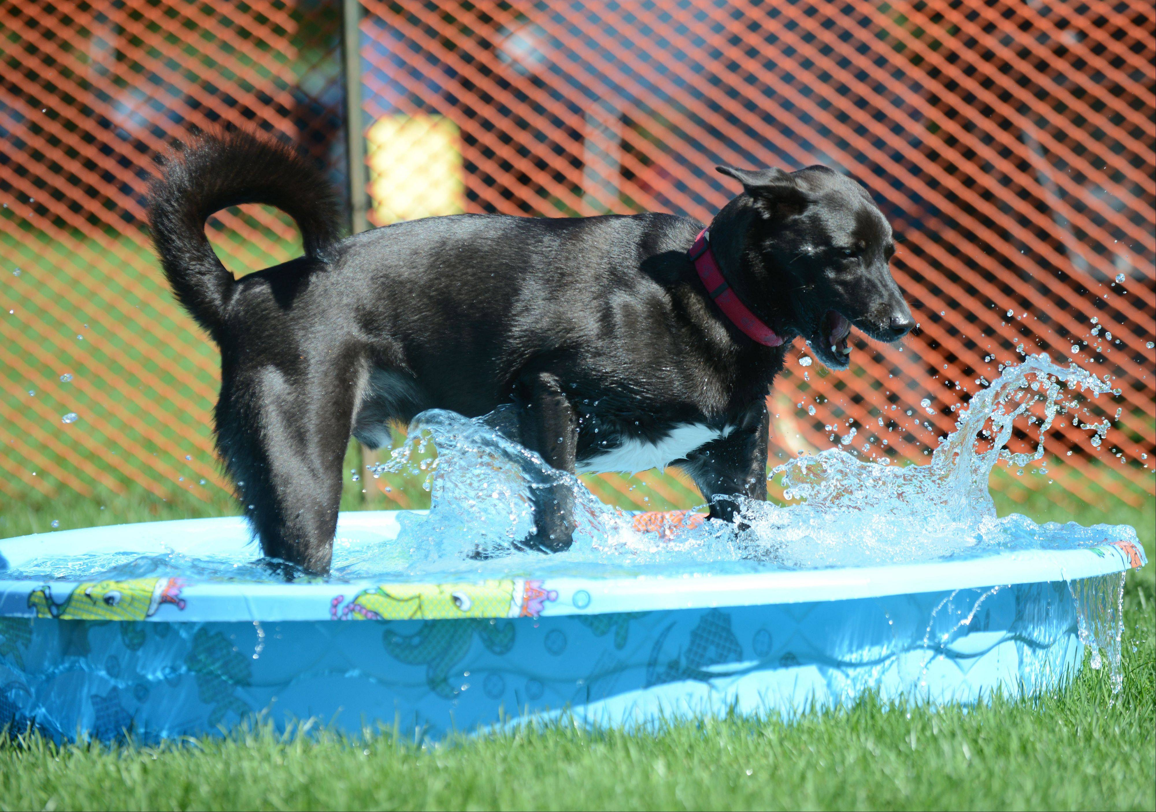 Cody McCarty of Wheaton splashes in a pool for dogs during the Cantigny Park annual Dog Days celebration Saturday.