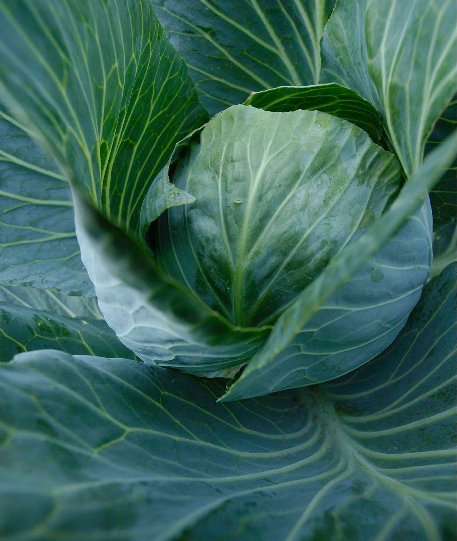 Fall crops, such as cabbage, can be planted now.
