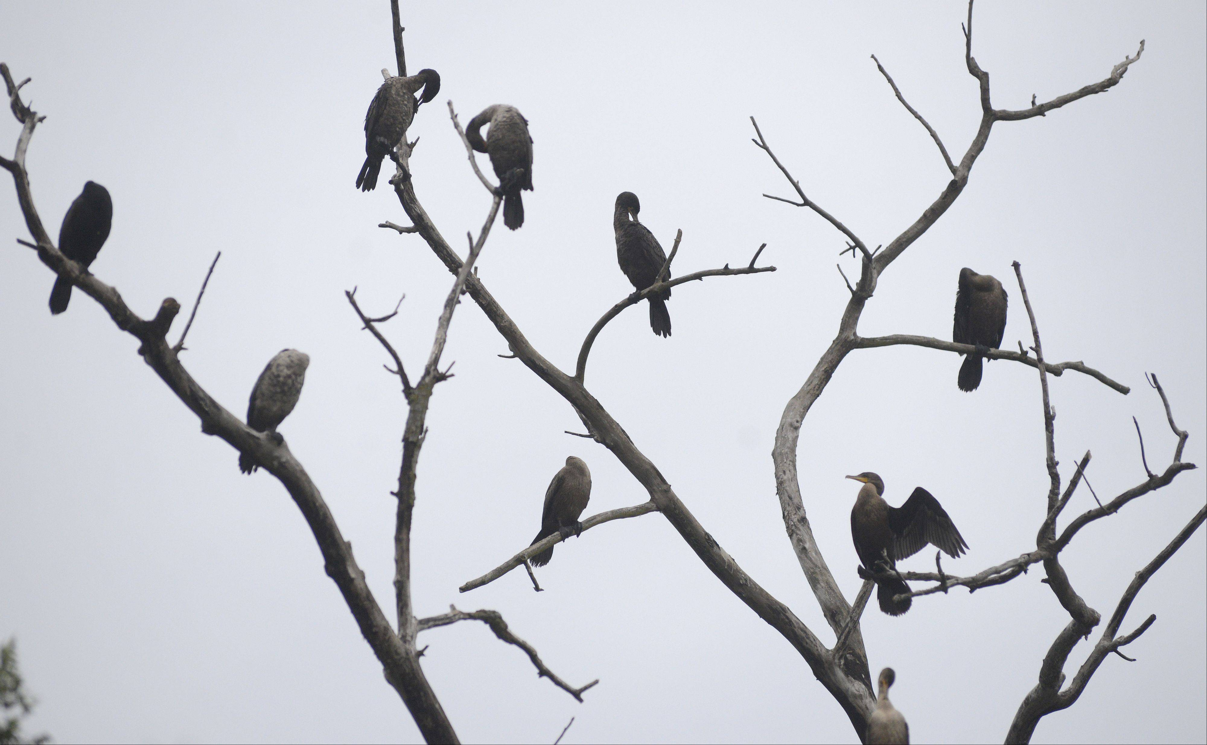 Cormorants groom themselves while others doze, looking as if they are missing their heads, perched on a dead tree along the Fox River in Batavia Tuesday. The birds caught the attention of many walkers-by and bicyclists as they crossed the pedestrian bridge.
