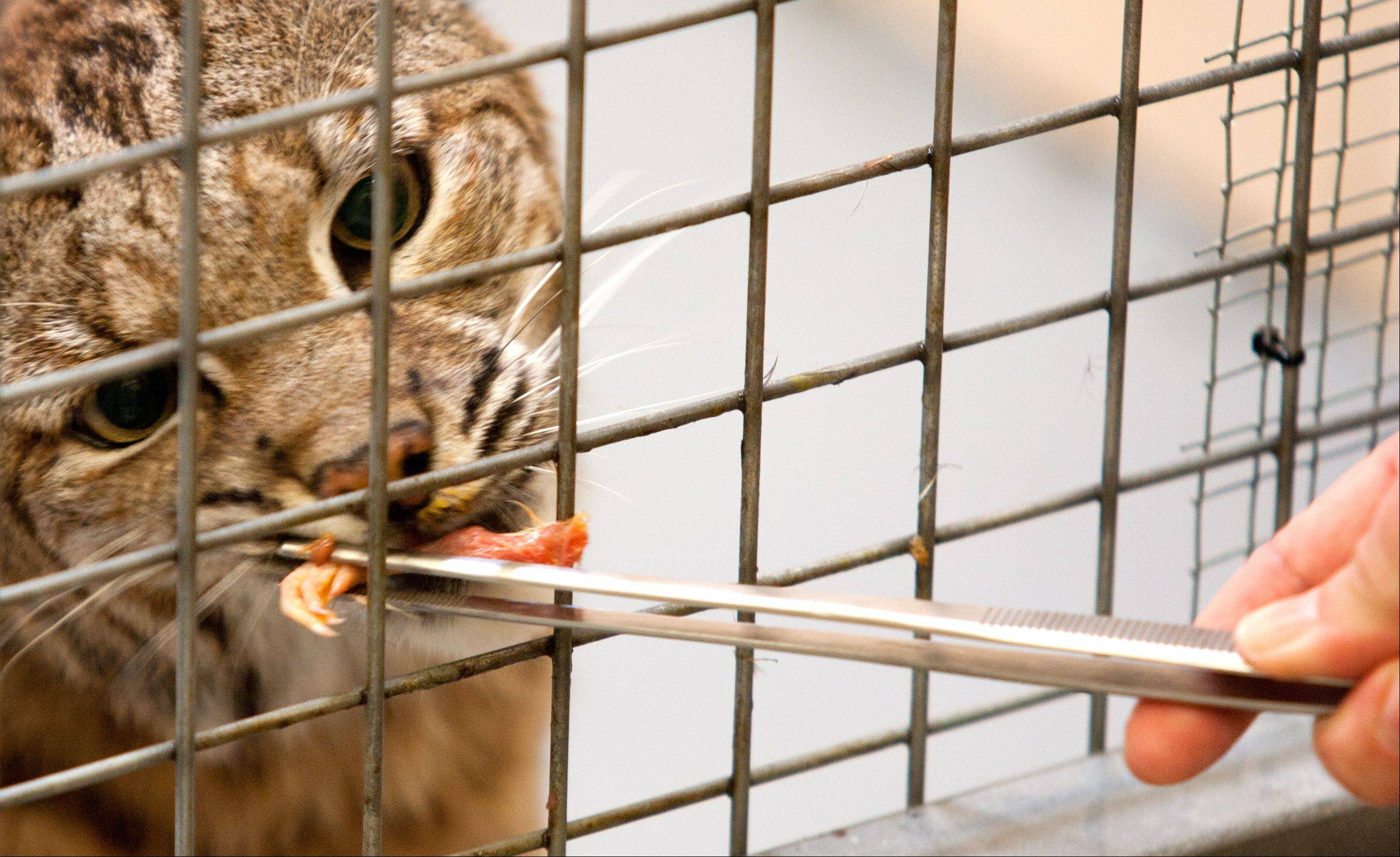 Cosley Zoo keeper Jenny Theuman feeds Sal, one of Cosley Zoo's two bobcats.