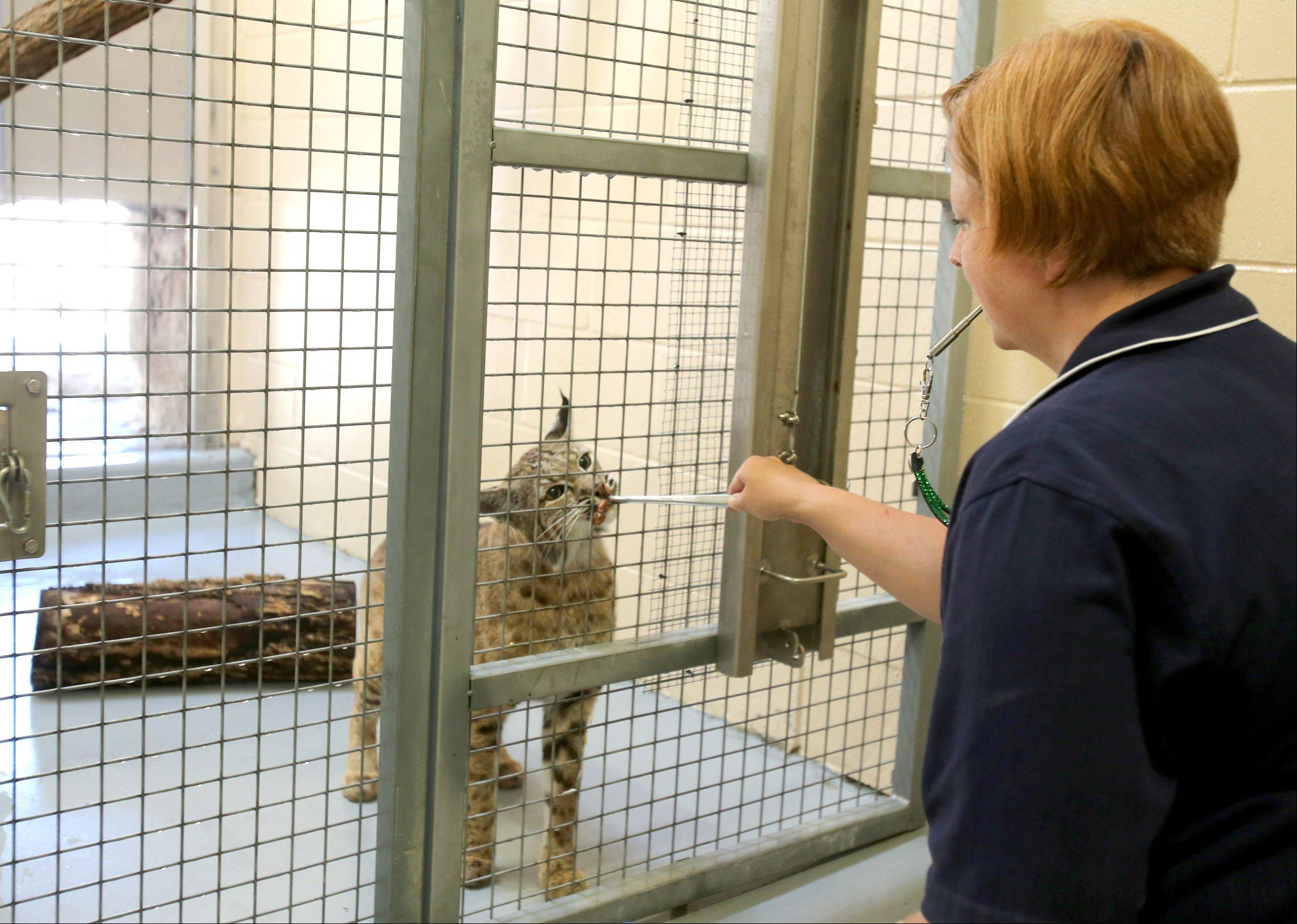 Jenny Theuman interacts with a bobcat through a fence.