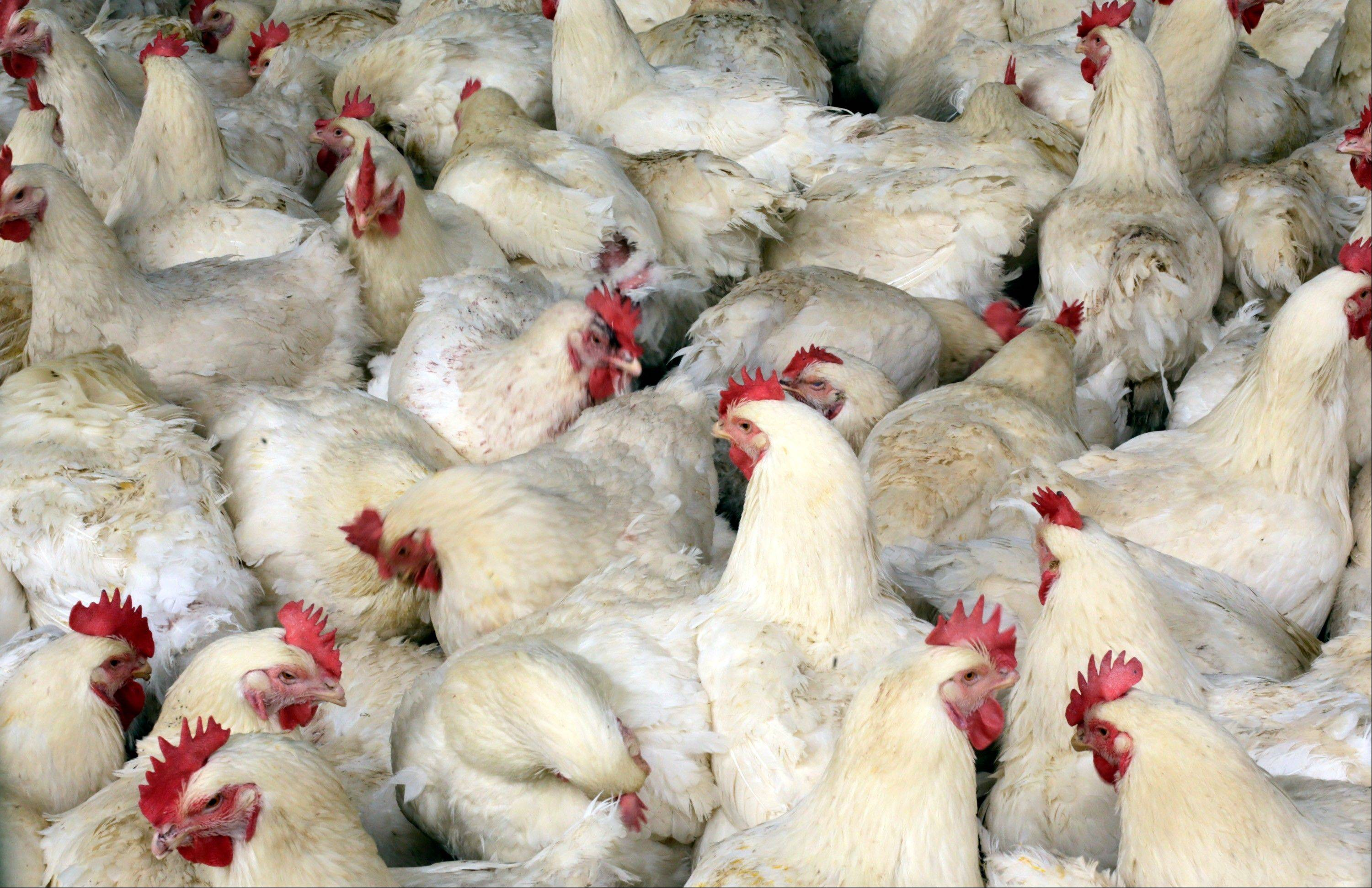 Associated Press/April 3, 2013 Chickens at a chicken farm on the outskirts of Shanghai, China.