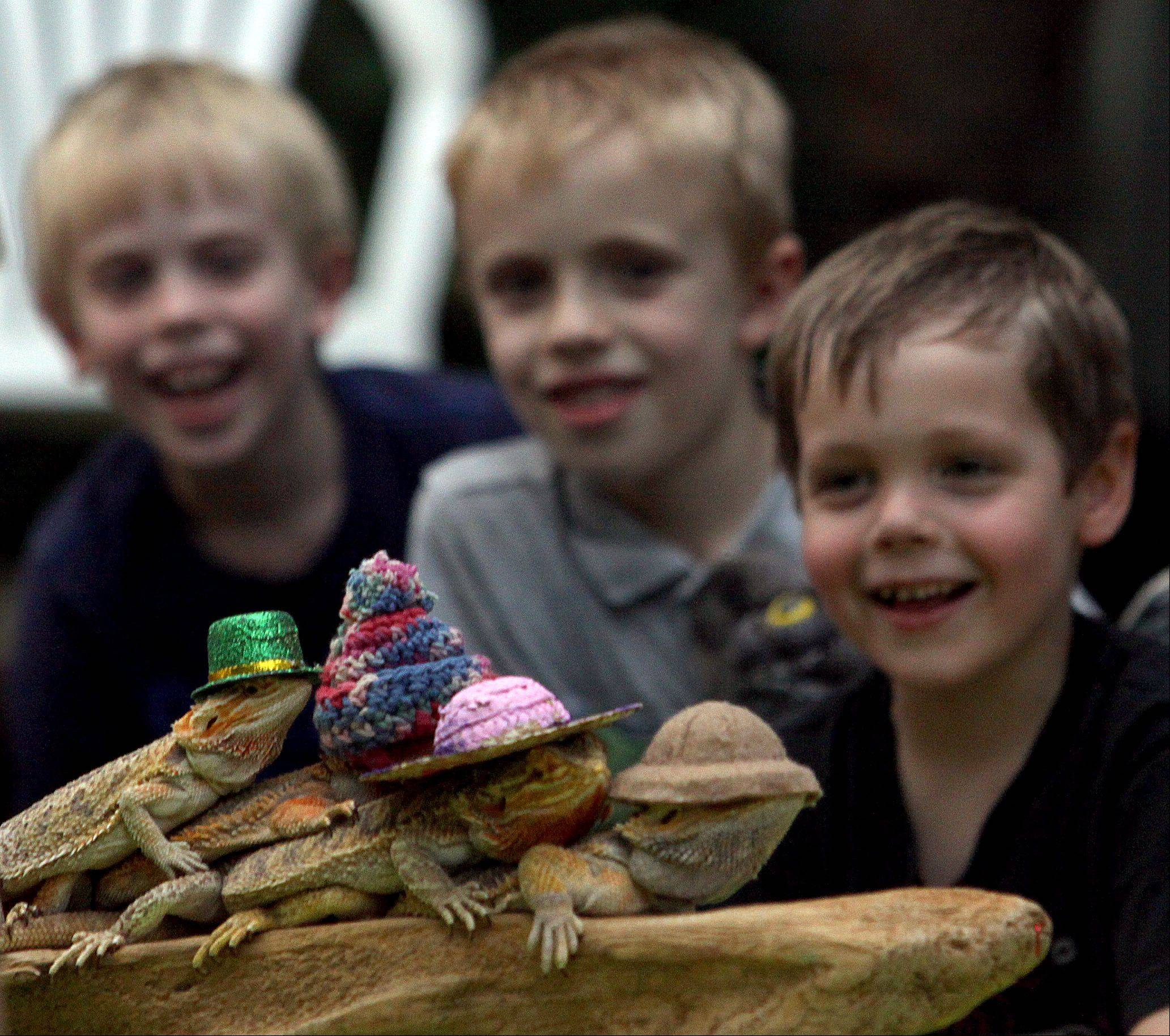 "From left, Tommy Jackson, 8, of Lake in the Hills, Kaleb Mathews, 6, of Lake in the Hills, and Caleb Olandese, 7, of Crystal Lake delight to bearded dragons dressed in Irish, party, and safari caps as part of a National Night Out event on Starwood Pass in Lake in the Hills Tuesday evening. Deb Krohn, the ""Frog Lady"" of Froglady Presentations spoke to youngsters about various species."