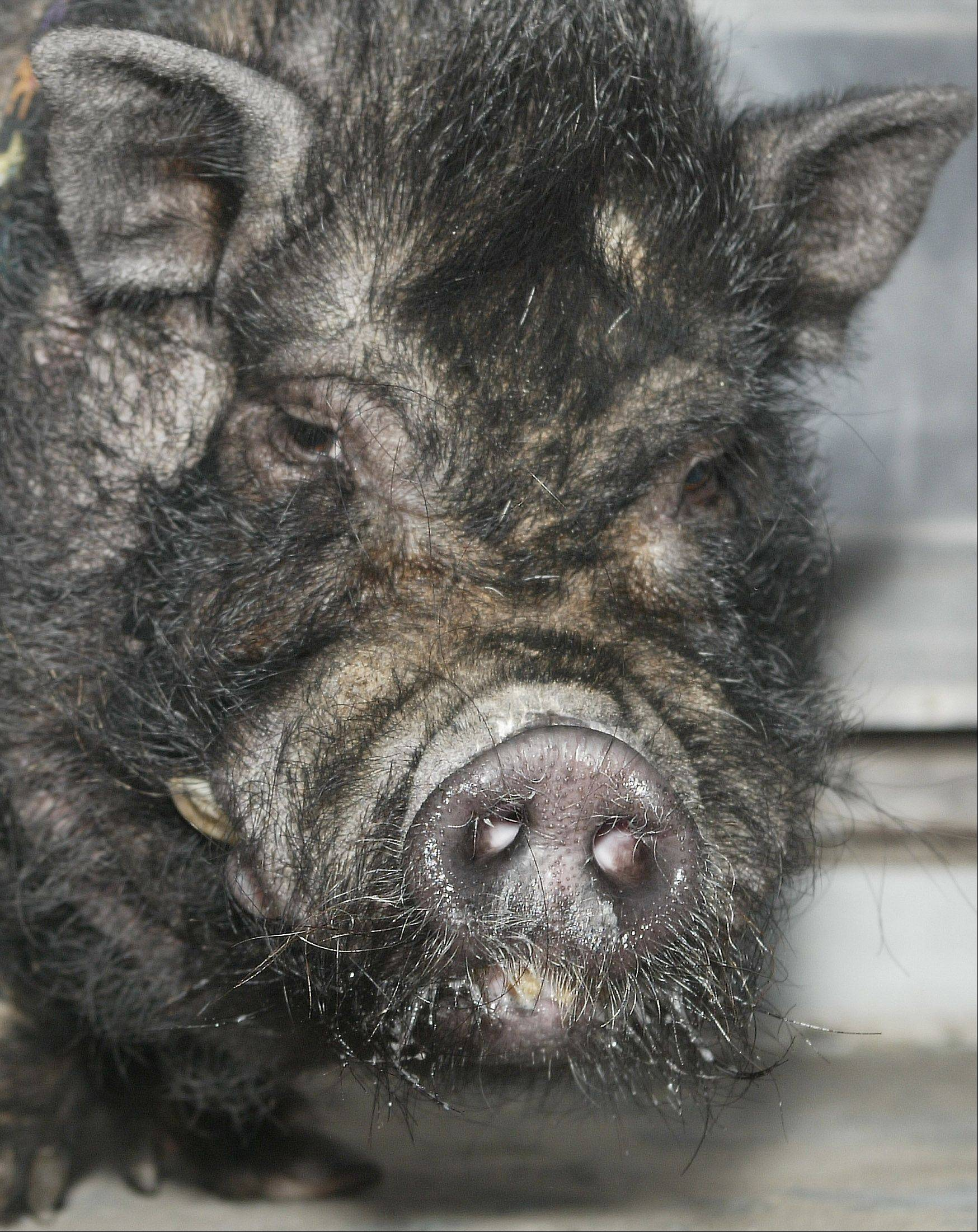 Arlington Heights clarified its prohibited animals part of the municipal code on Monday after receiving a request from a resident who wanted to keep a potbellied pig as a pet.