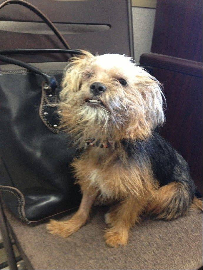 When he was first found with serious injuries, his caregivers named him Tragedy. But now that he's recovering and looking for a home, this young Yorkie-mix has a new name: Courage.