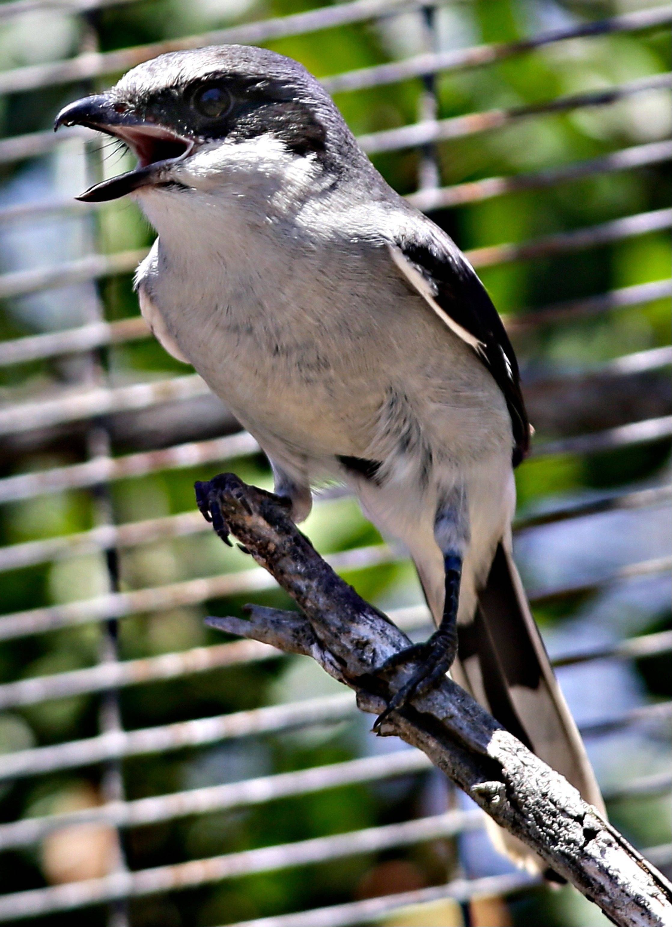 A San Clemente Island loggerhead shrike chirpsin its enclosure at a facility on San Clemente Island. The rare bird has gone from near extinction because of military training to proliferation, even during an era of numerous conflicts with extensive military training.