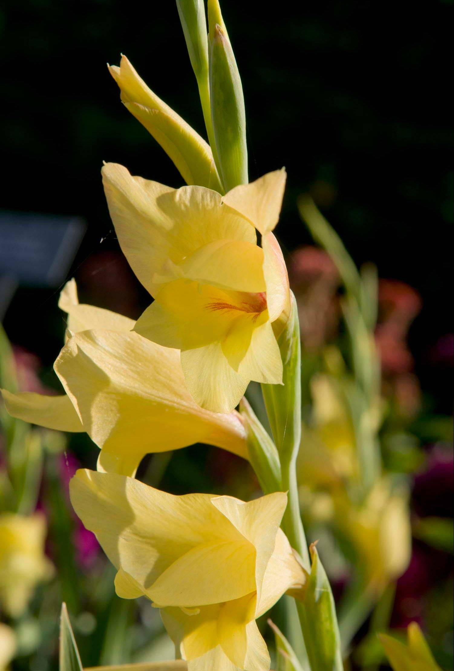 Since gladioli bloom from the bottom up, cut them for indoor use when the bottom bloom starts to show color.