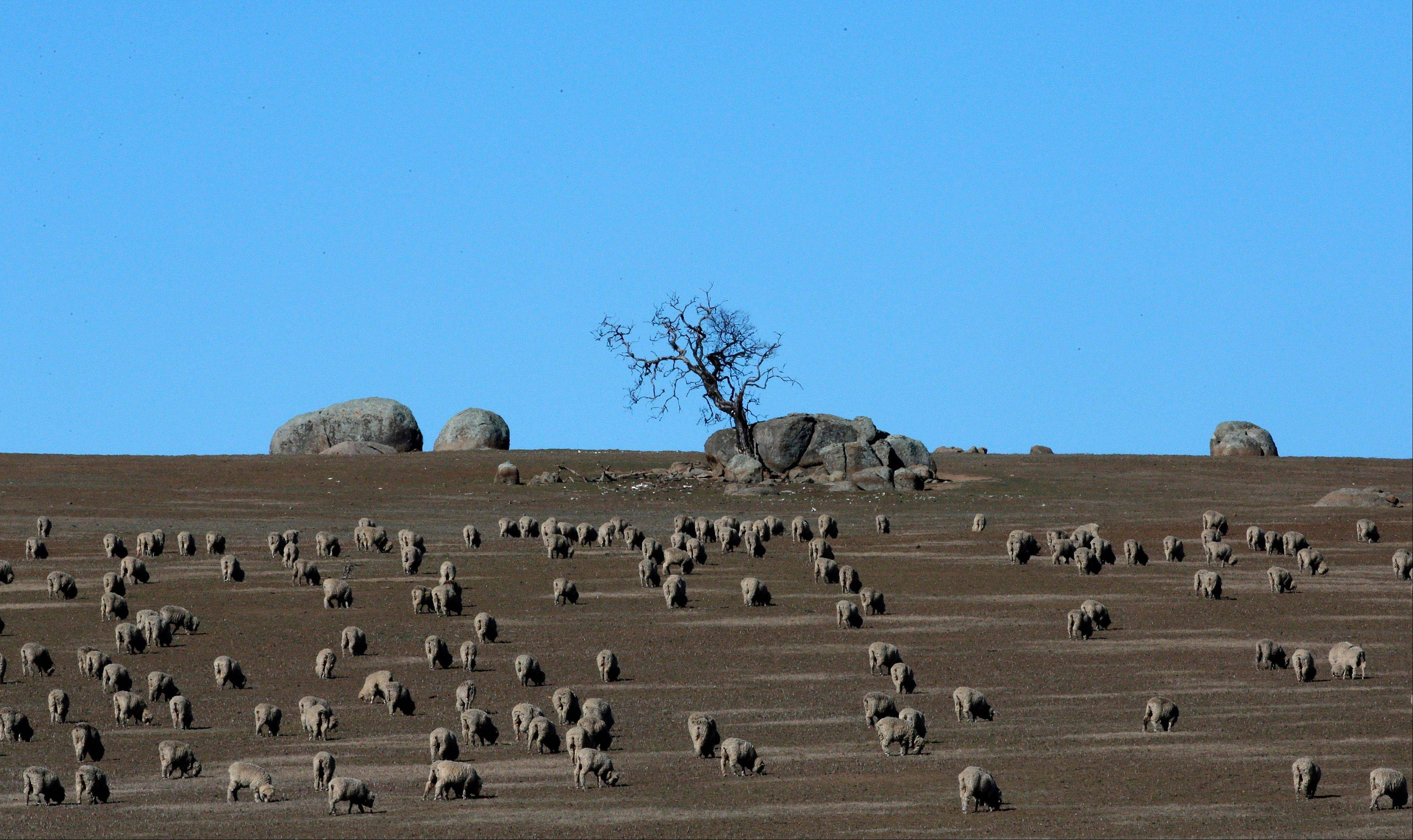 Hundreds of sheep graze in a paddock outside the town of Griffith, 356 miles from Sydney, Australia.