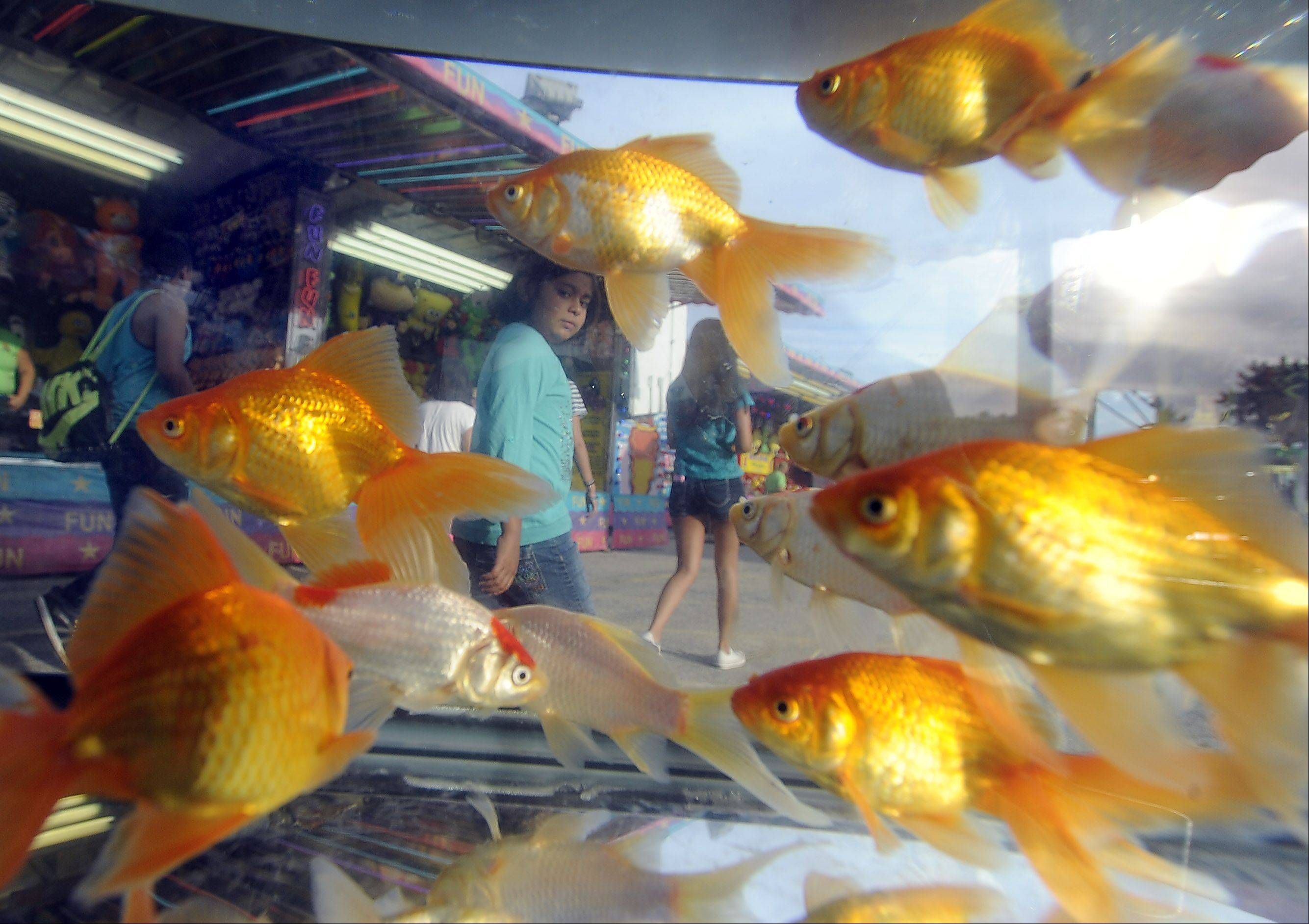Giant goldfish invade St. Zachary Church Augustfest as carnival patrons walk by the game Thursday in Des Plaines.