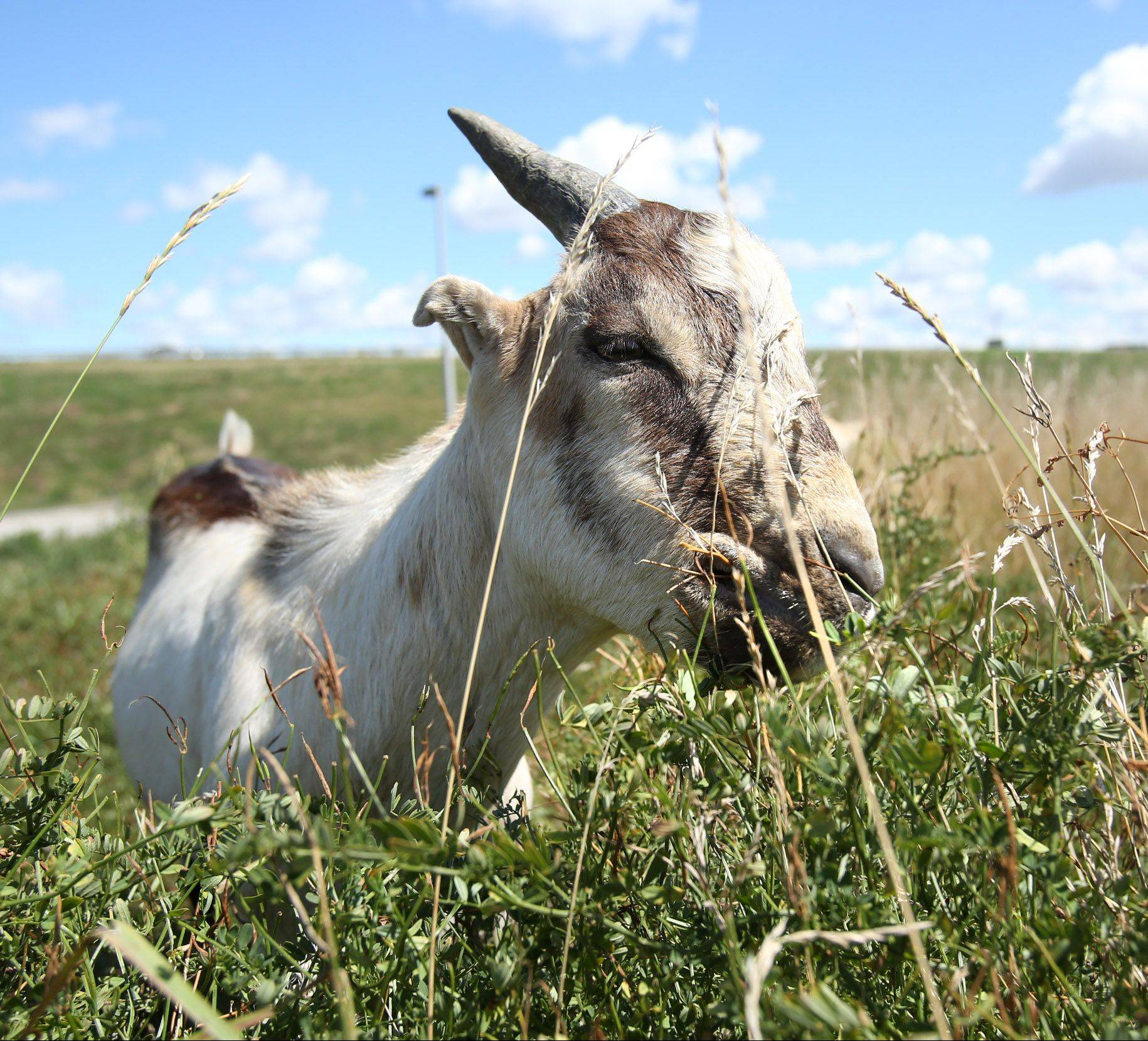 A goat grazes on grass at the northeast corner of O'Hare International Airport in Chicago on Tuesday.