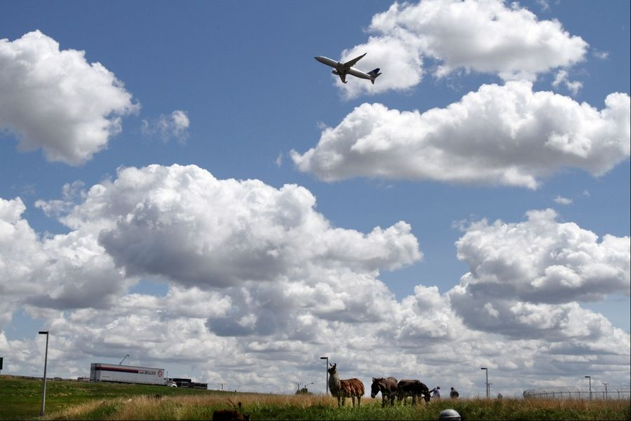 A herd of goats, sheep, llamas and burros grazes on the grass at O'Hare International Airport in Chicago on Tuesday.