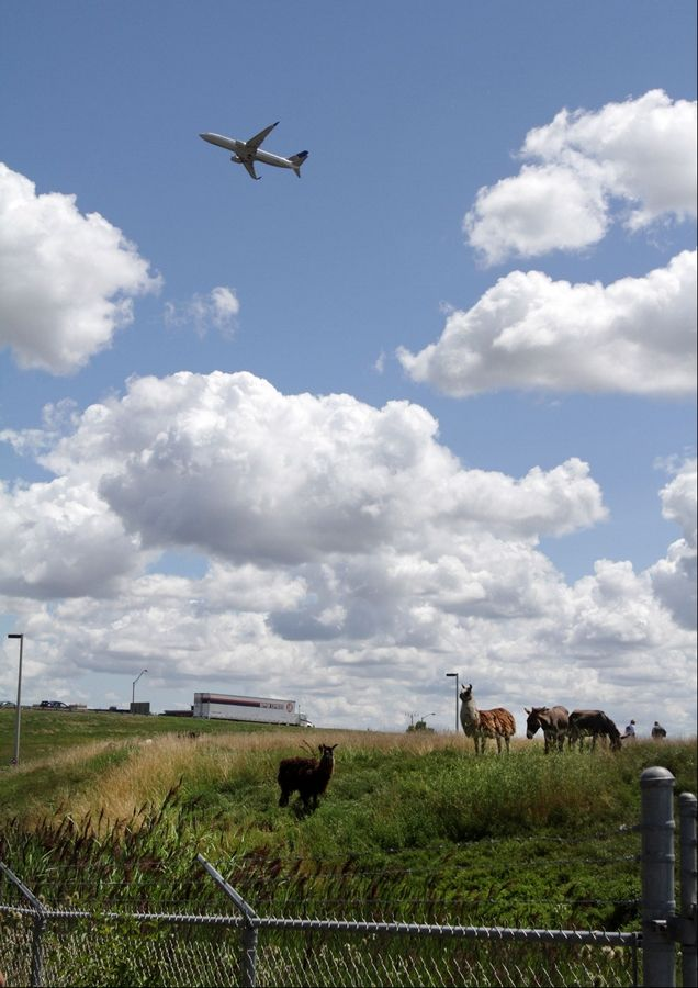 A herd of goats, sheep, llamas and burros grazes on the grass at the northeast corner of O'Hare International Airport in Chicago on Tuesday.