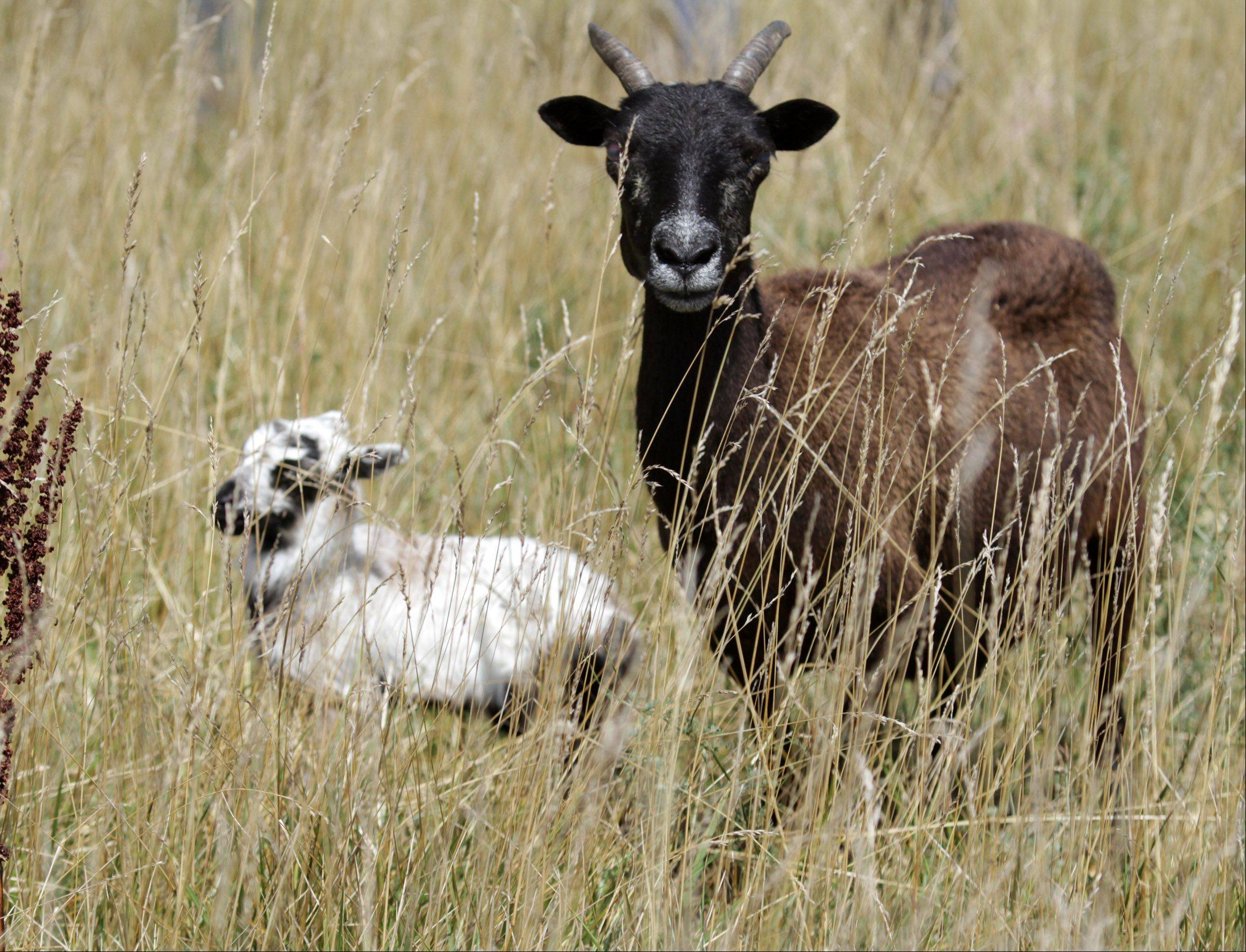 A newborn lamb dubbed O'Hare takes in his surroundings at the airport while a goat stands watch. The animals are part of a herd that grazes at O'Hare International Airport.