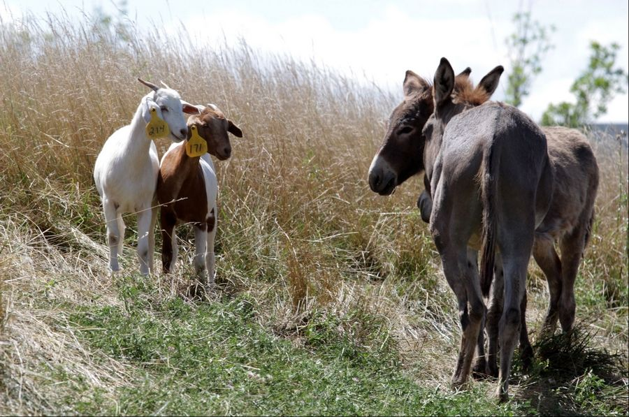 Goats, sheep, llamas and burros graze at the northeast corner of O'Hare International Airport in Chicago on Tuesday.