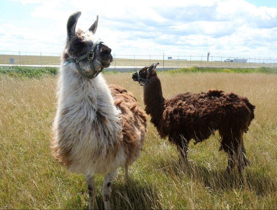 Llamas graze on the grass Tuesday at the northeast corner of O'Hare International Airport in Chicago.