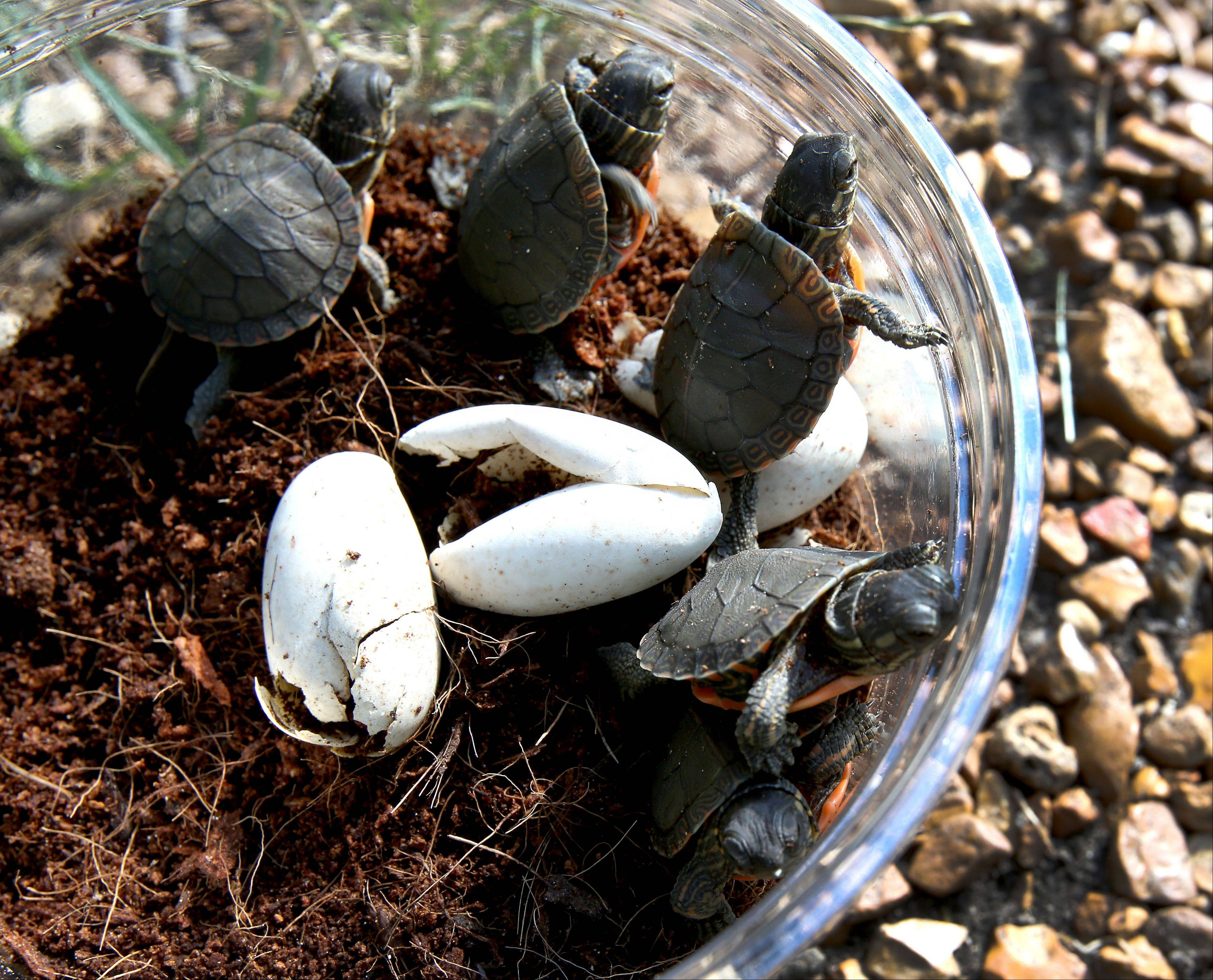 Newly hatched painted turtles look to escape their container before they are released at a DuPage forest preserve on Tuesday. Their mother was hit by a car and didn�t make it, but Willowbrook Wildlife Preserve incubated the eggs that she was carrying and seven of the 10 were released.