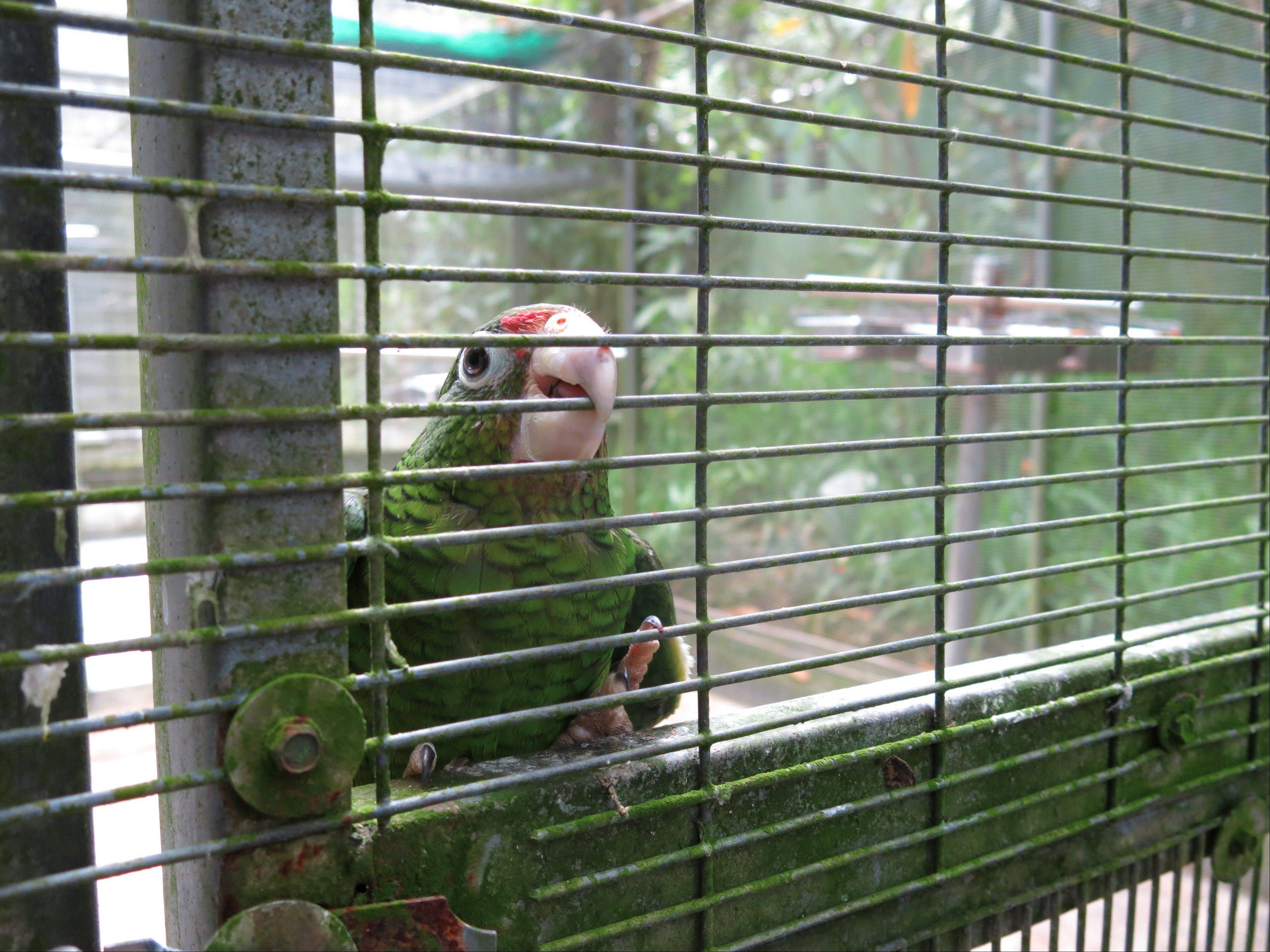 A Puerto Rican parrot looks out its cage Thursday in the Rio Abajo Nature Preserve, Puerto Rico.