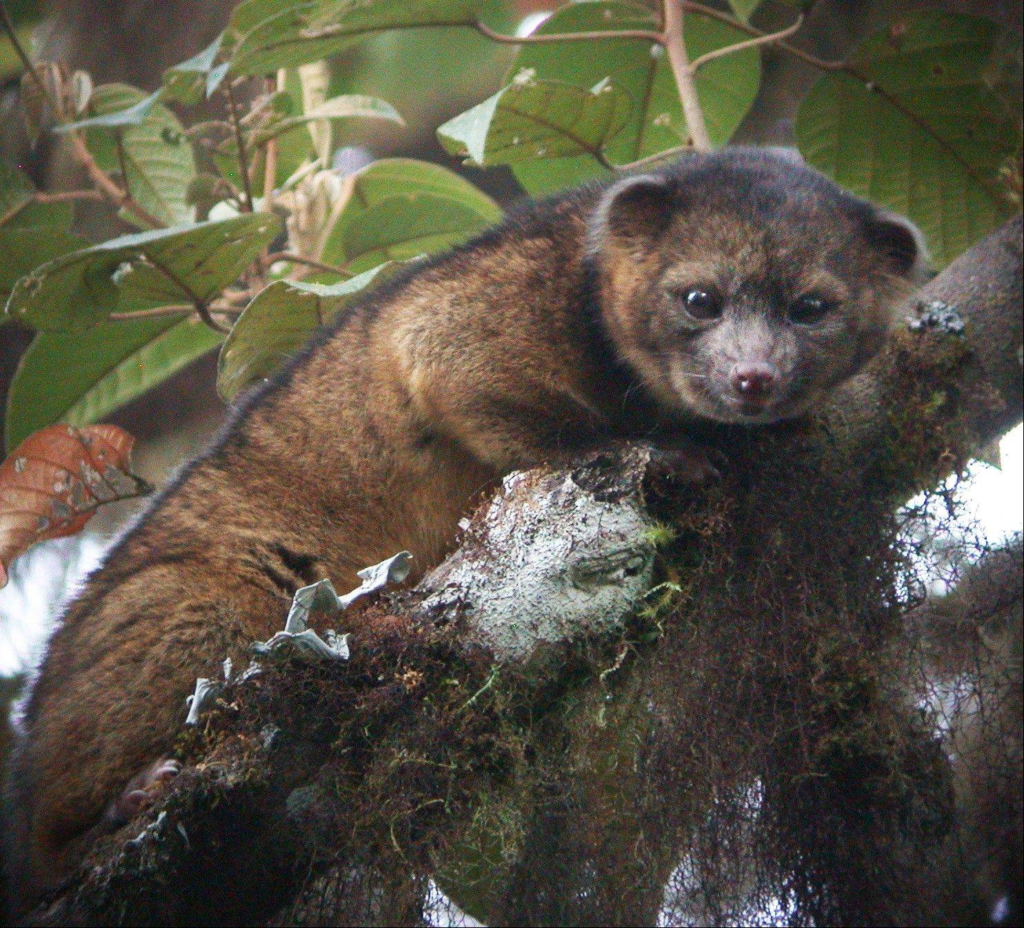 Smithsonian Institution researchers announced Thursday a rare discovery of a new species of mammal called the olinguito. The mammal, which they had previously mistaken for an olingo, is actually a distinct species.