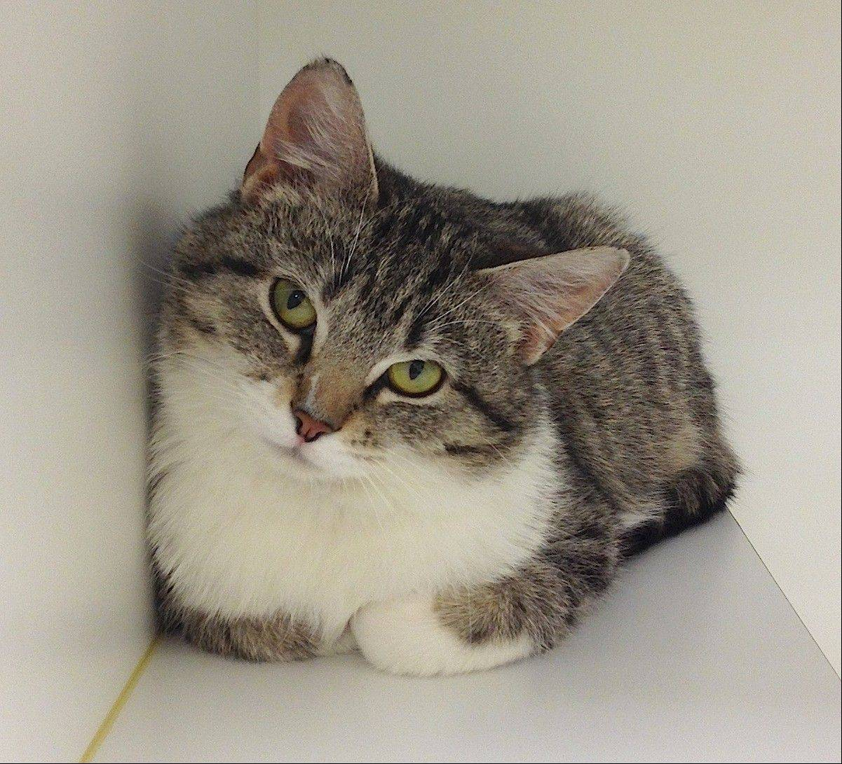 Betty Boop, a domestic medium-haired female, is about 1� years old.