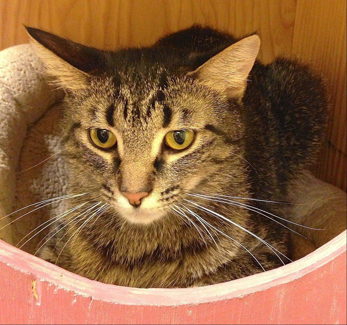 Sweetie, a domestic longhair female, is a loving 2-year-old.