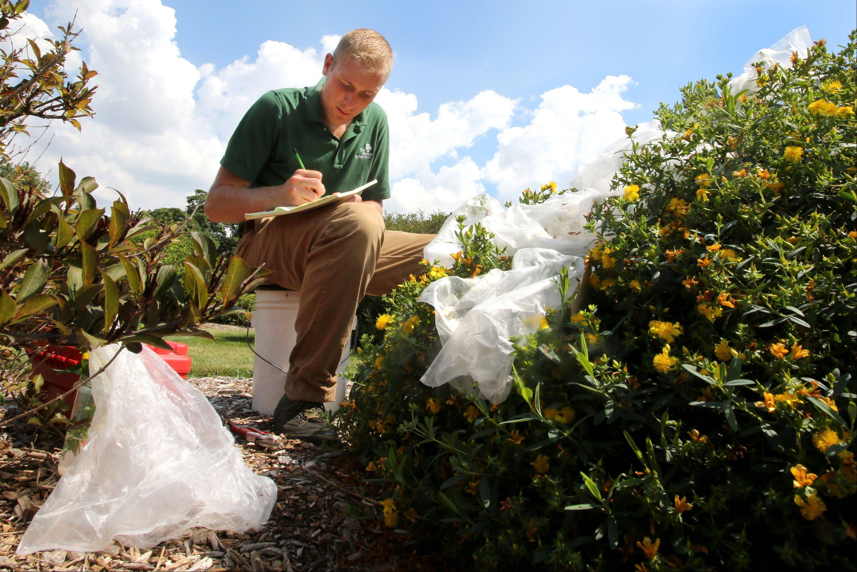 Joe Rothleutner, tree improvement specialist for the Morton Arboretum, documents his St. John's Wort plant data. White bags are kept over the newly pollinated plant, protecting it from pests and cross contamination.