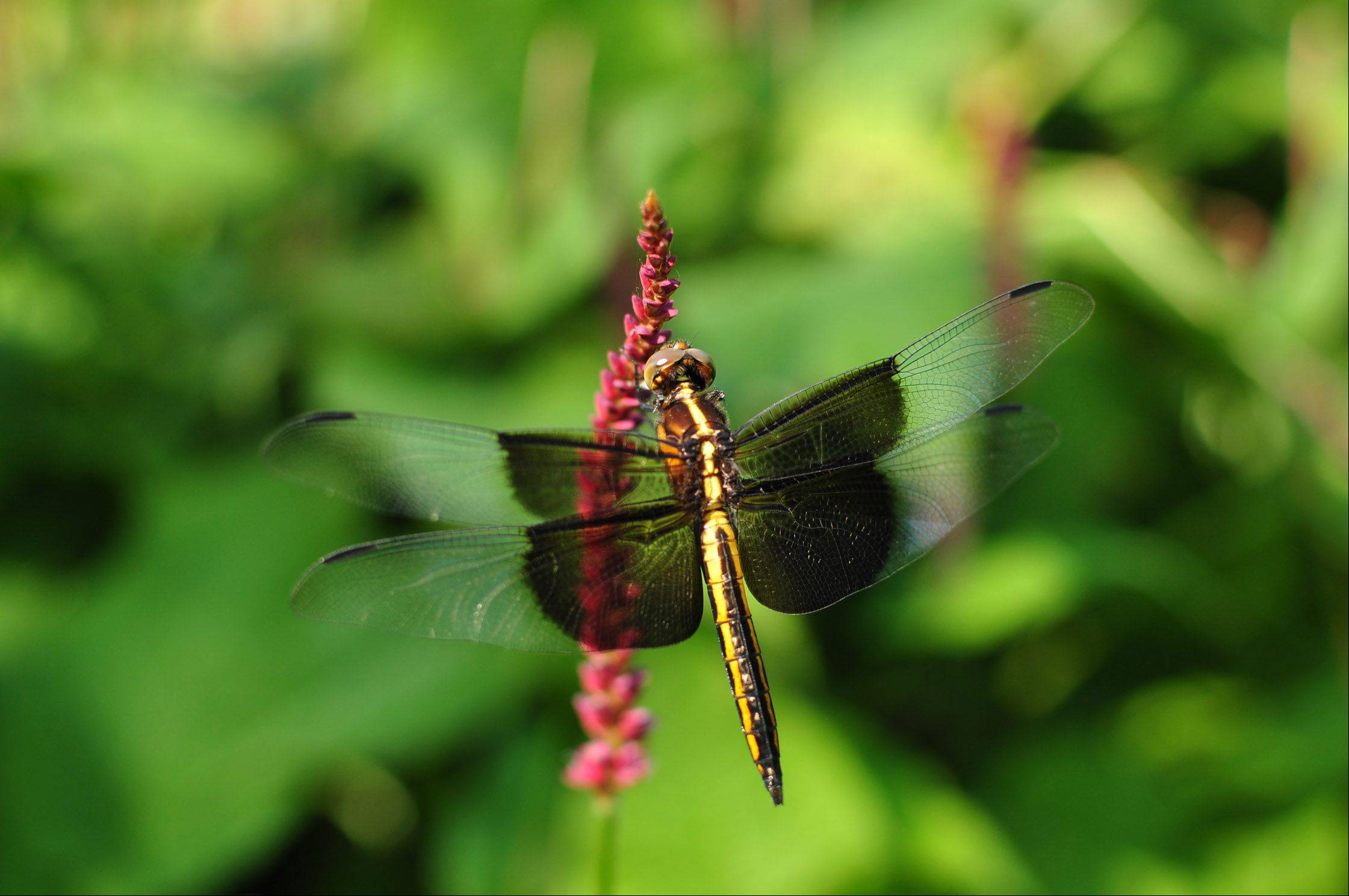 A dragonfly lands on a flower at the Chicago Botanical Garden in Glencoe.