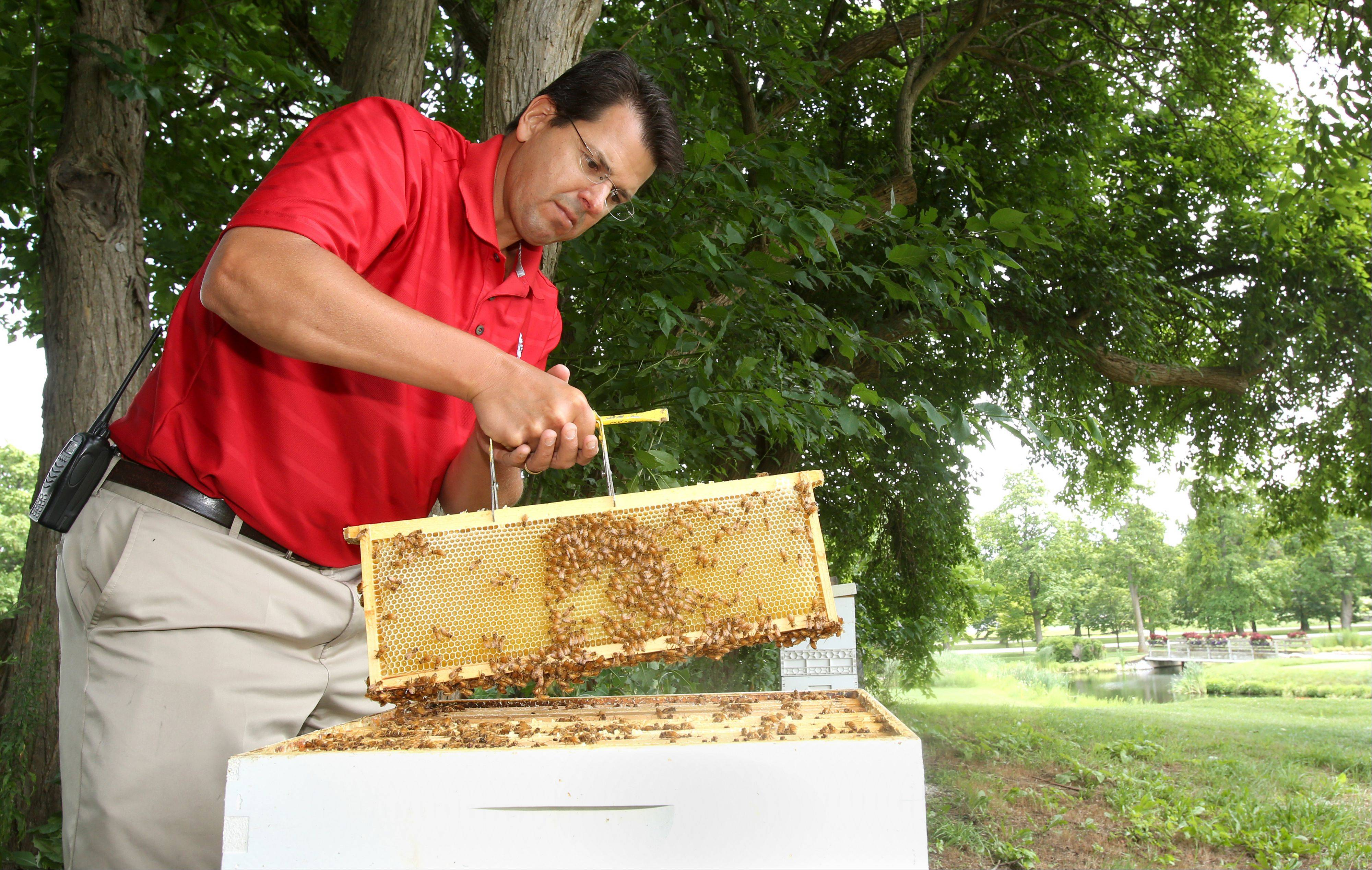 Scott Witte, superintendent of Cantigny Golf, makes weekly checks on the 10 beehives he keeps on the course. He also keeps a protective eye on three natural beehives in the hollows of trees.