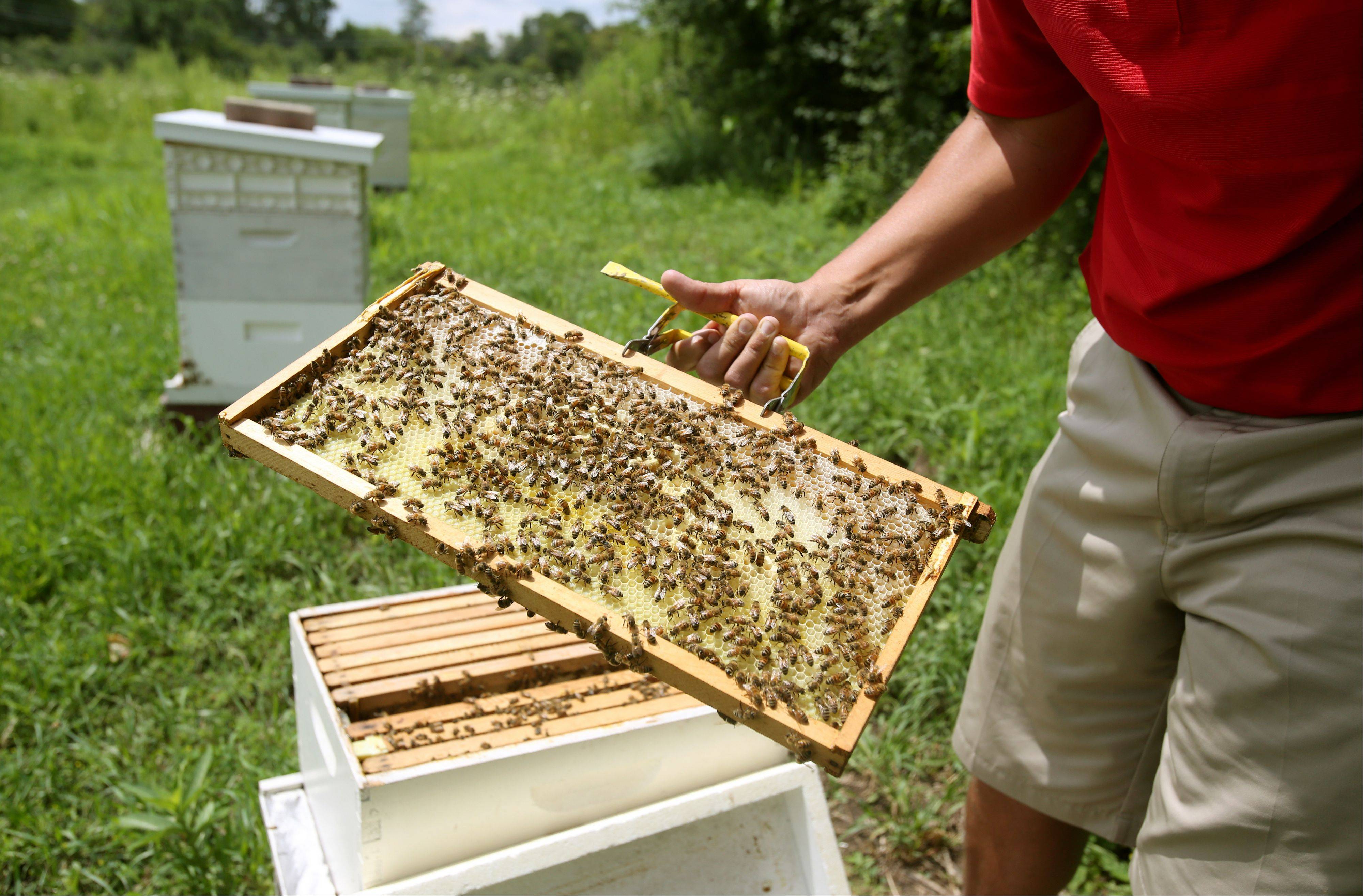 Scott Witte, superintendent of Cantigny Golf and self-taught apiarist, shows part of the brooding chamber of a beehive.