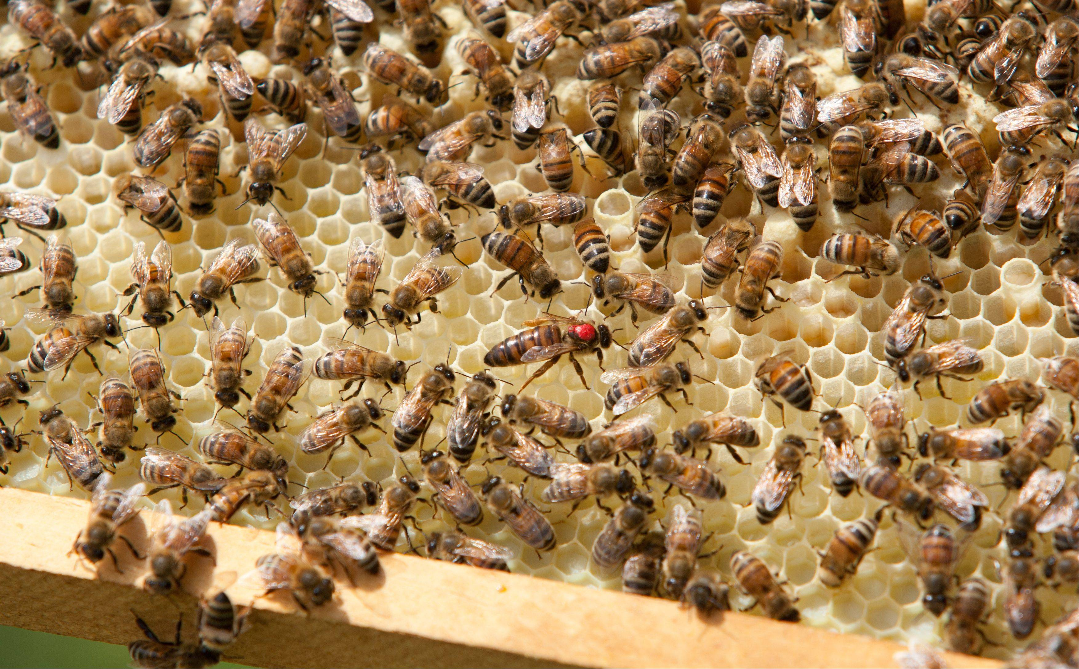 The queen bee, center, navigates part of the hive looking for a place to lay eggs.