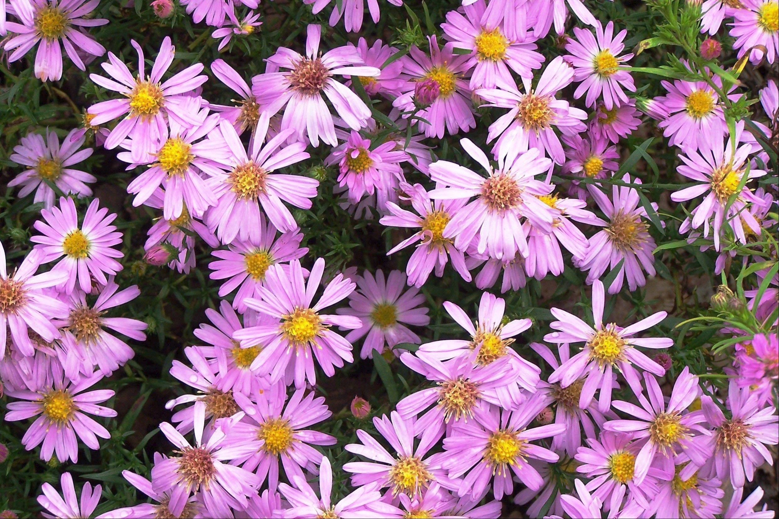 The pink daisy-like flowers of asters fill the fall garden with color.