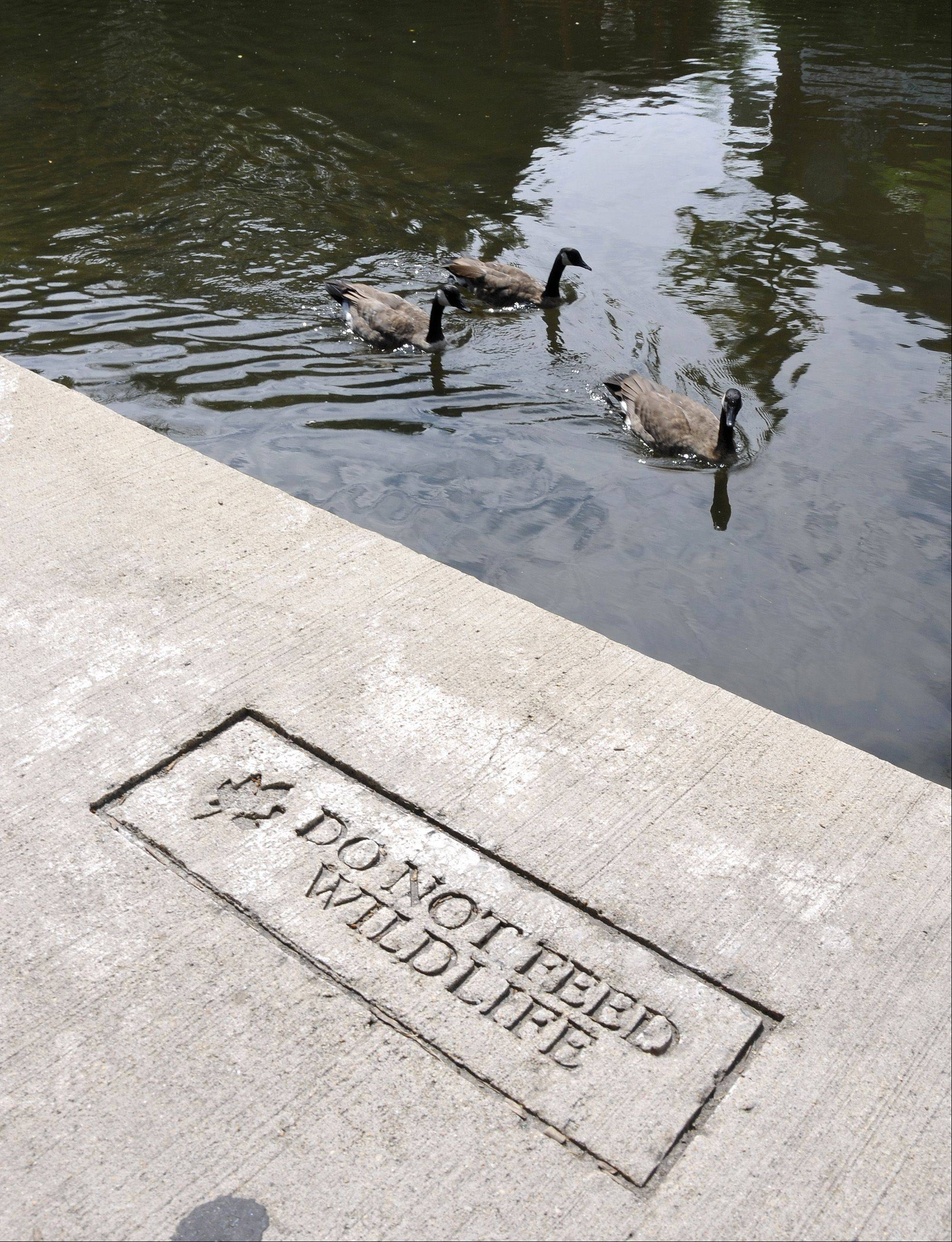 Naperville Park District police officers are handing out cards urging visitors to the Riverwalk in downtown Naperville to not feed the ducks. Many people either don't notice the signs or don't pay attention to them.