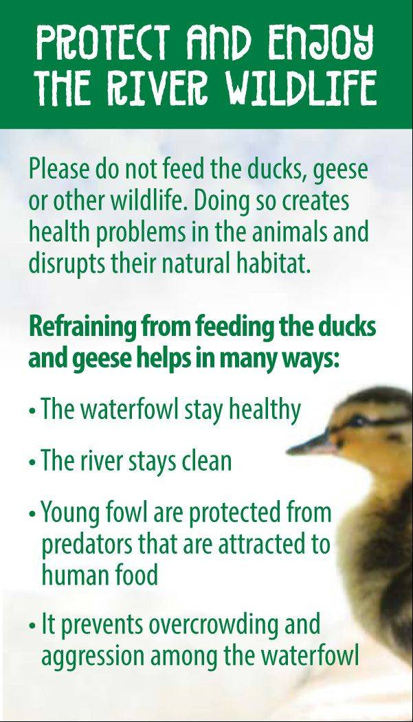 The text on the card says refraining from feeding ducks and geese helps the animals stay healthy, protects them from predators, aggression and overcrowding, and keeps the river clean.