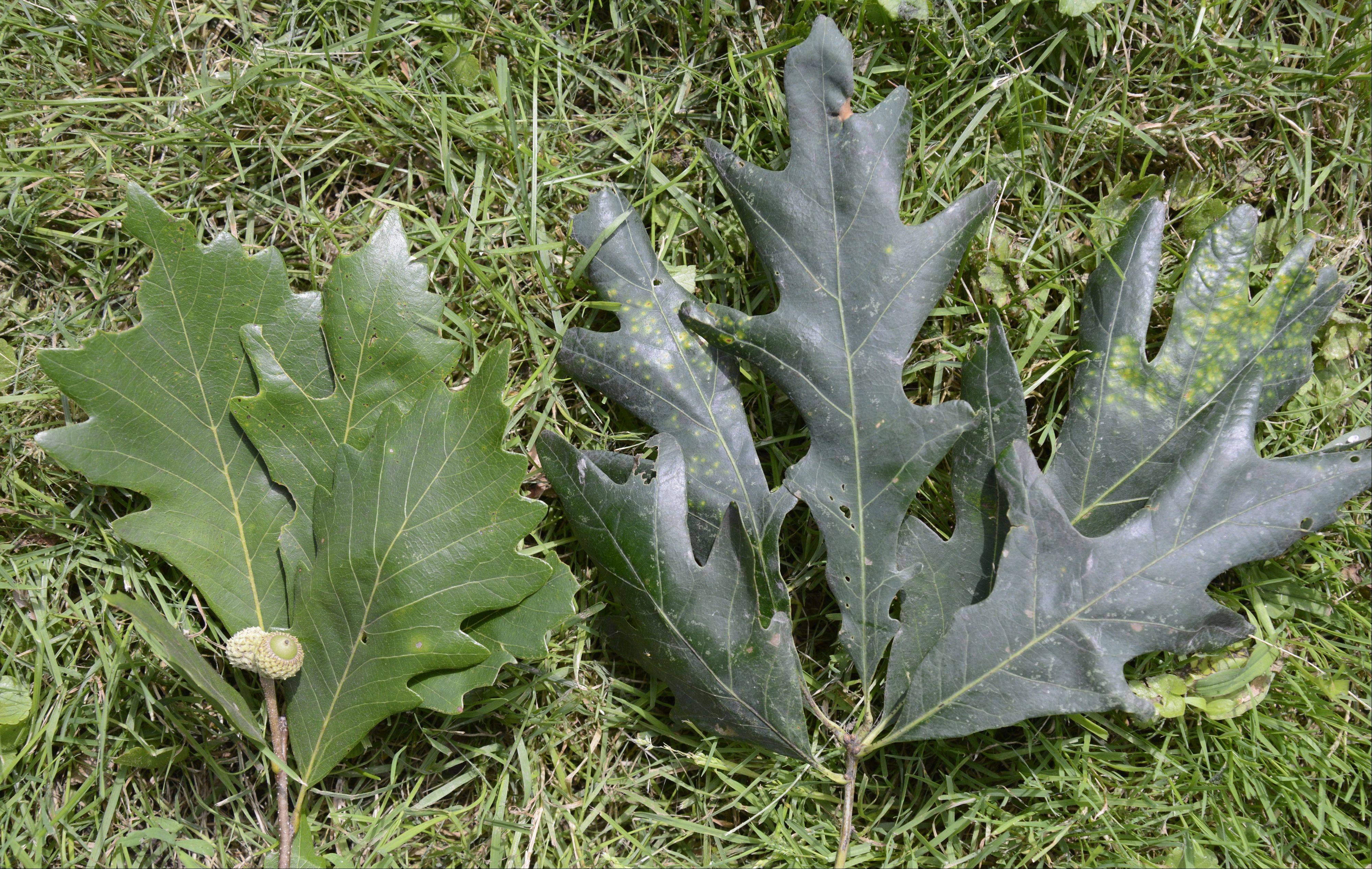 The top sides of a swamp oak leaves, left, and white oak leaves are much darker compared to their undersides. The underside of the swamp white oak leaves are also soft and fuzzy to the touch.
