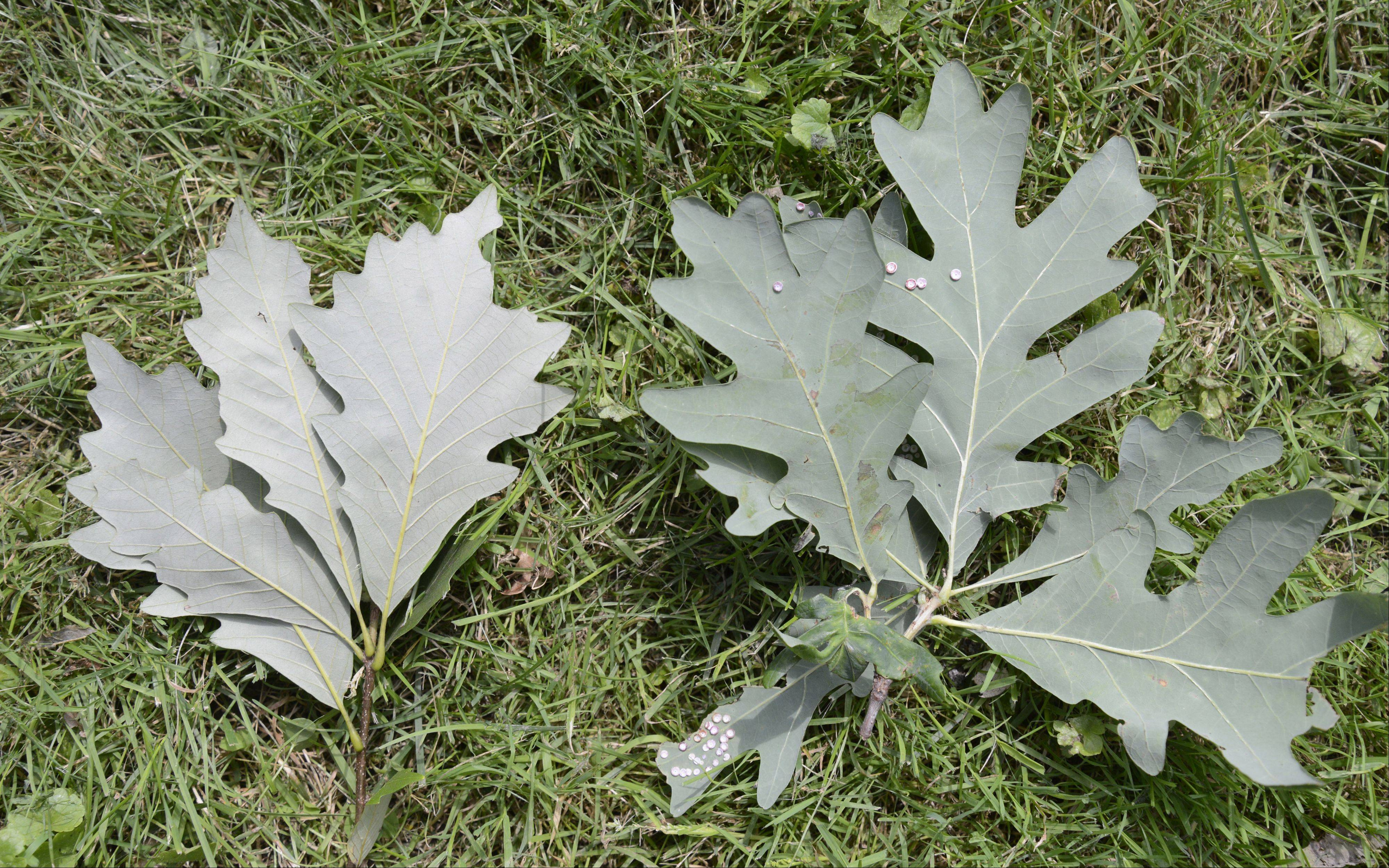 The undersides of swamp oak leaves, left, and white oak leaves are much brighter than the top part of the leaves. The underside of the swamp white oak leaves are also soft and fuzzy to the touch.