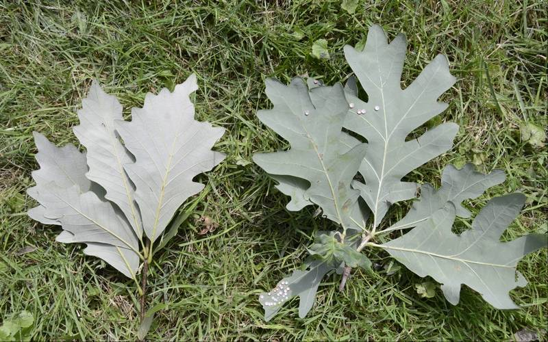 White Oak Leaf Identification ~ Leaf peepers clues to help identify white oaks