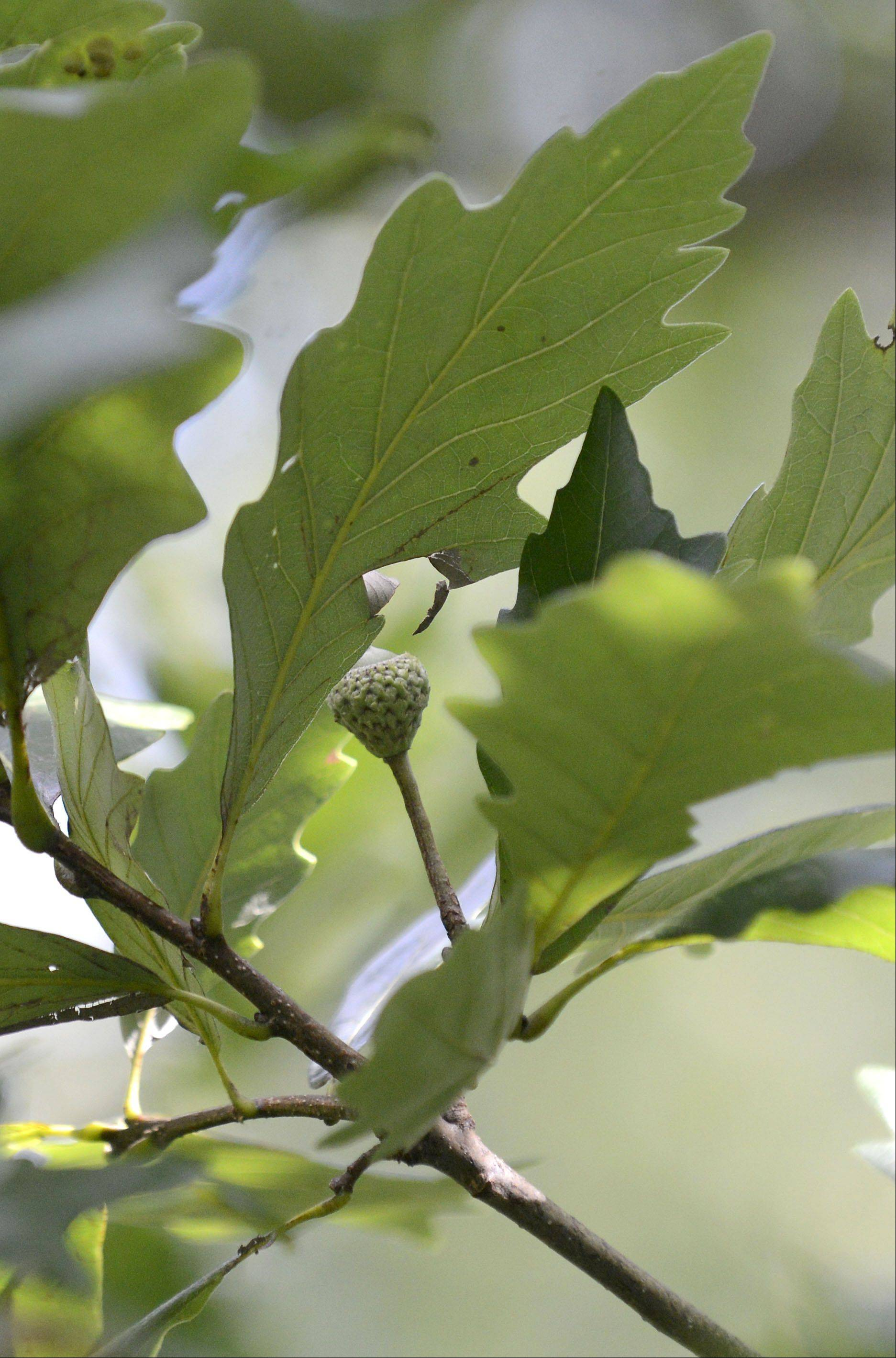 Acorns on swamp white oaks grow from a long stalk attached at the base of the acorn.