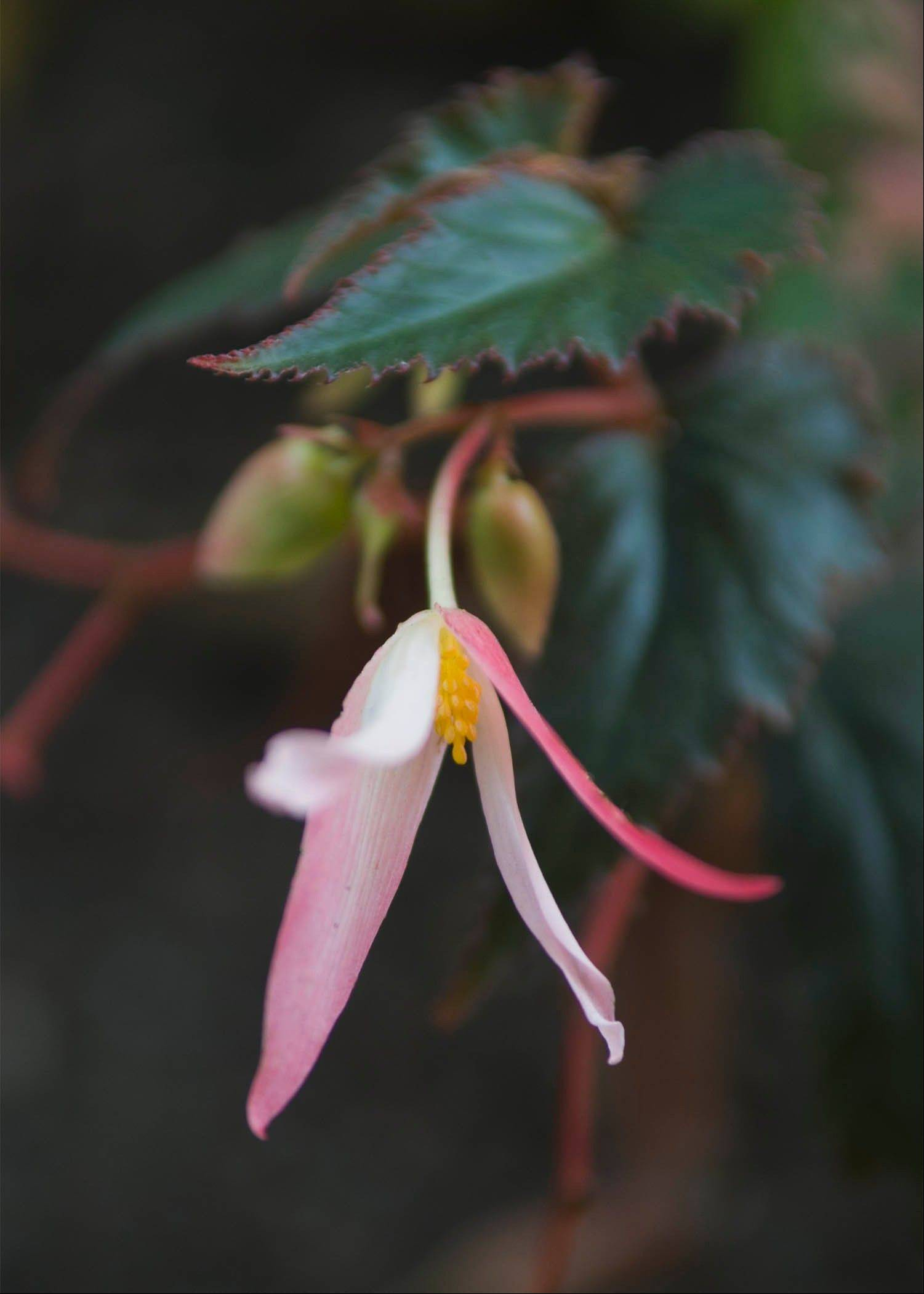 Begonias, like this Bonfire Chocolate variety, can be overwintered by taking cuttings now.
