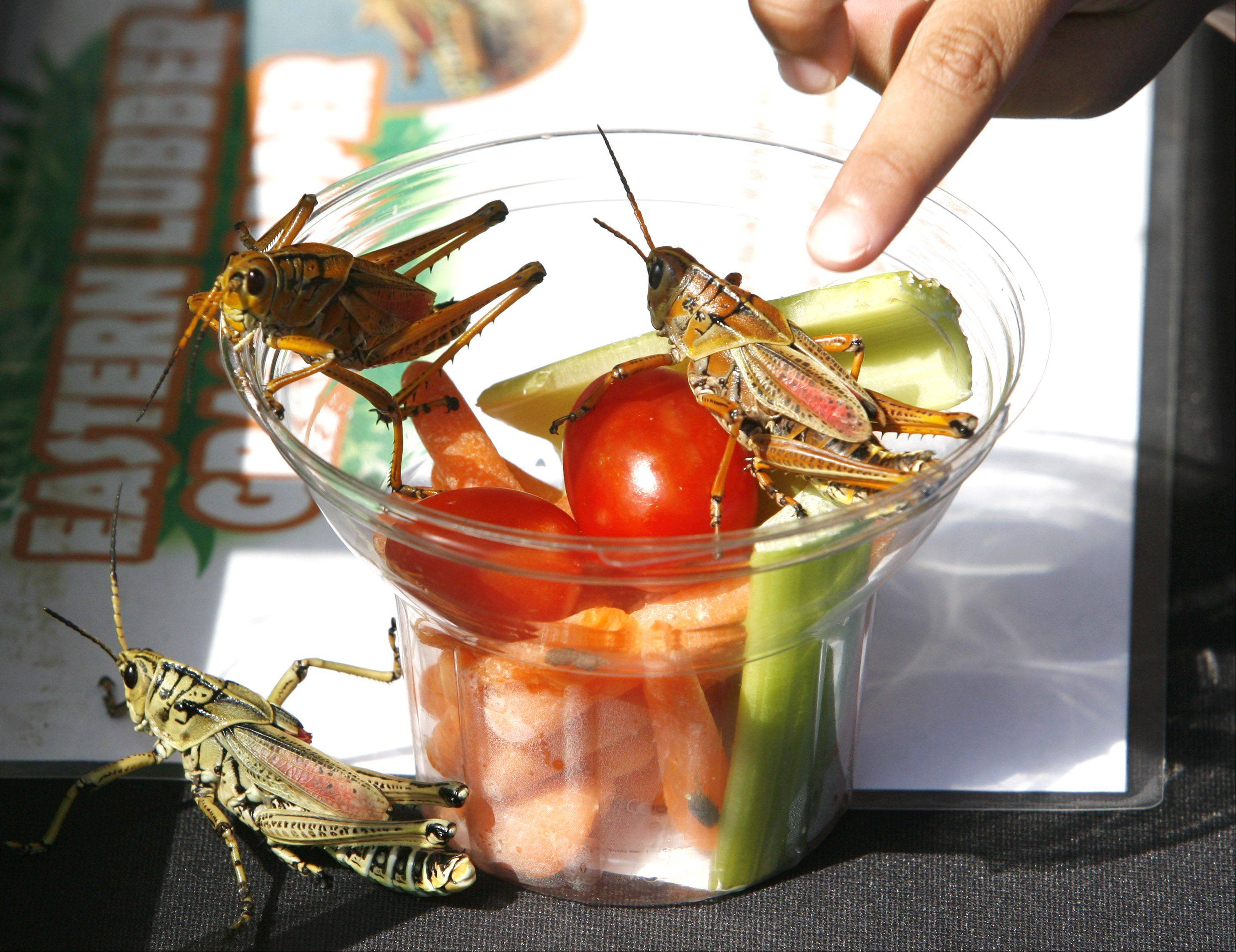 Eastern Lubber grasshoppers from the Florida area are displayed during Bugfest at the Red Oak Nature Center in North Aurora.