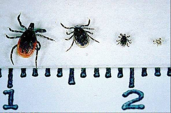 The deer tick (Ixodes scapularis) adult female, adult male, nymph, and larva on a centimeter scale.
