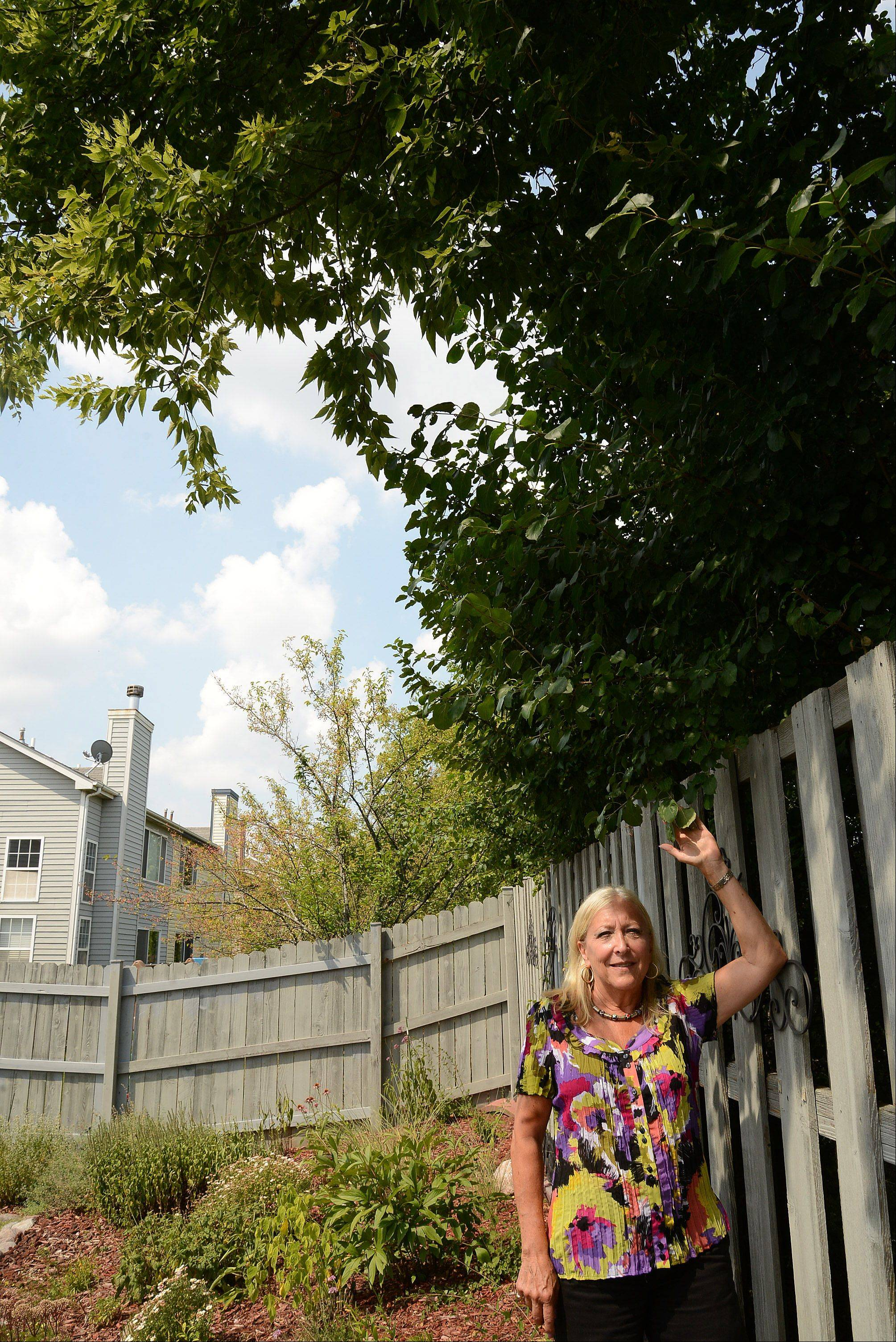 The weedy trees belong to the business next door, but Illinois law says the limbs hanging over the fence and stretching into Robin Sachs' Mundelein yard are legally her responsibility.