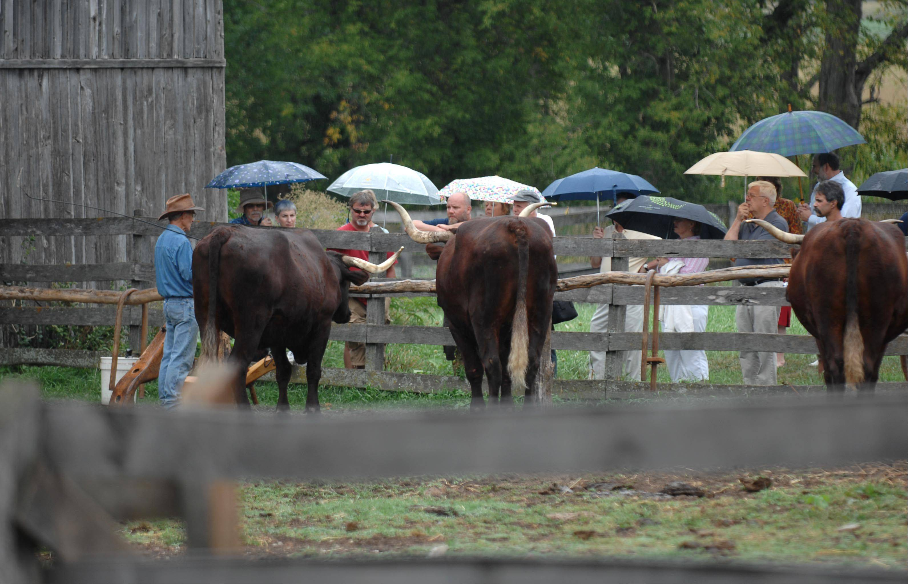 Chuck Bauer shows visitors an oxen demonstration at the 2012 Heirloom Garden Show at Garfield Farm Museum. This year's event will be Sunday, Aug. 25.