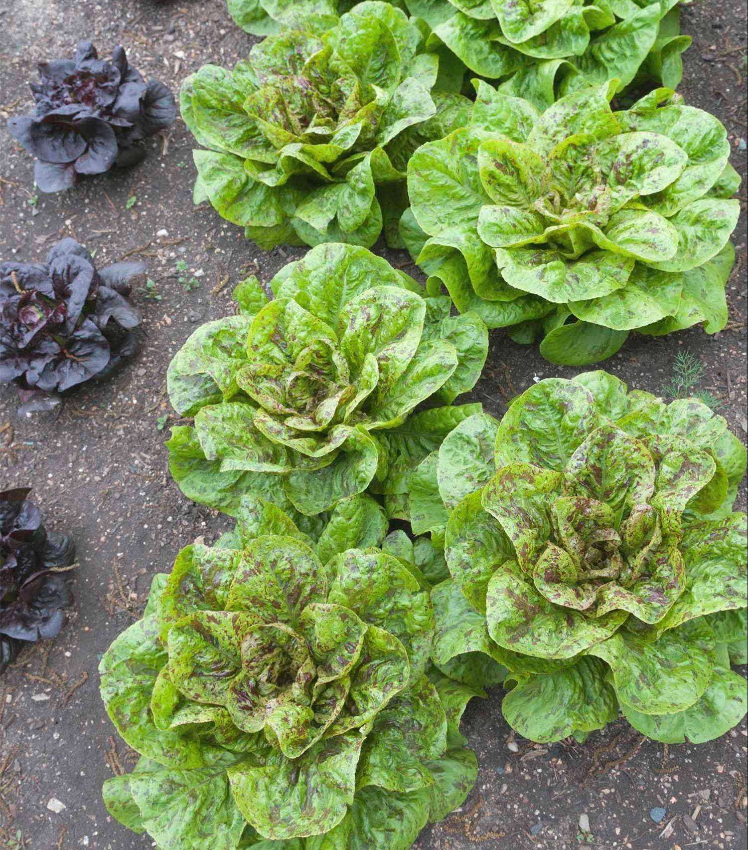 Seeds for lettuces, mesclun mixes and other greens can be sowed again this month.