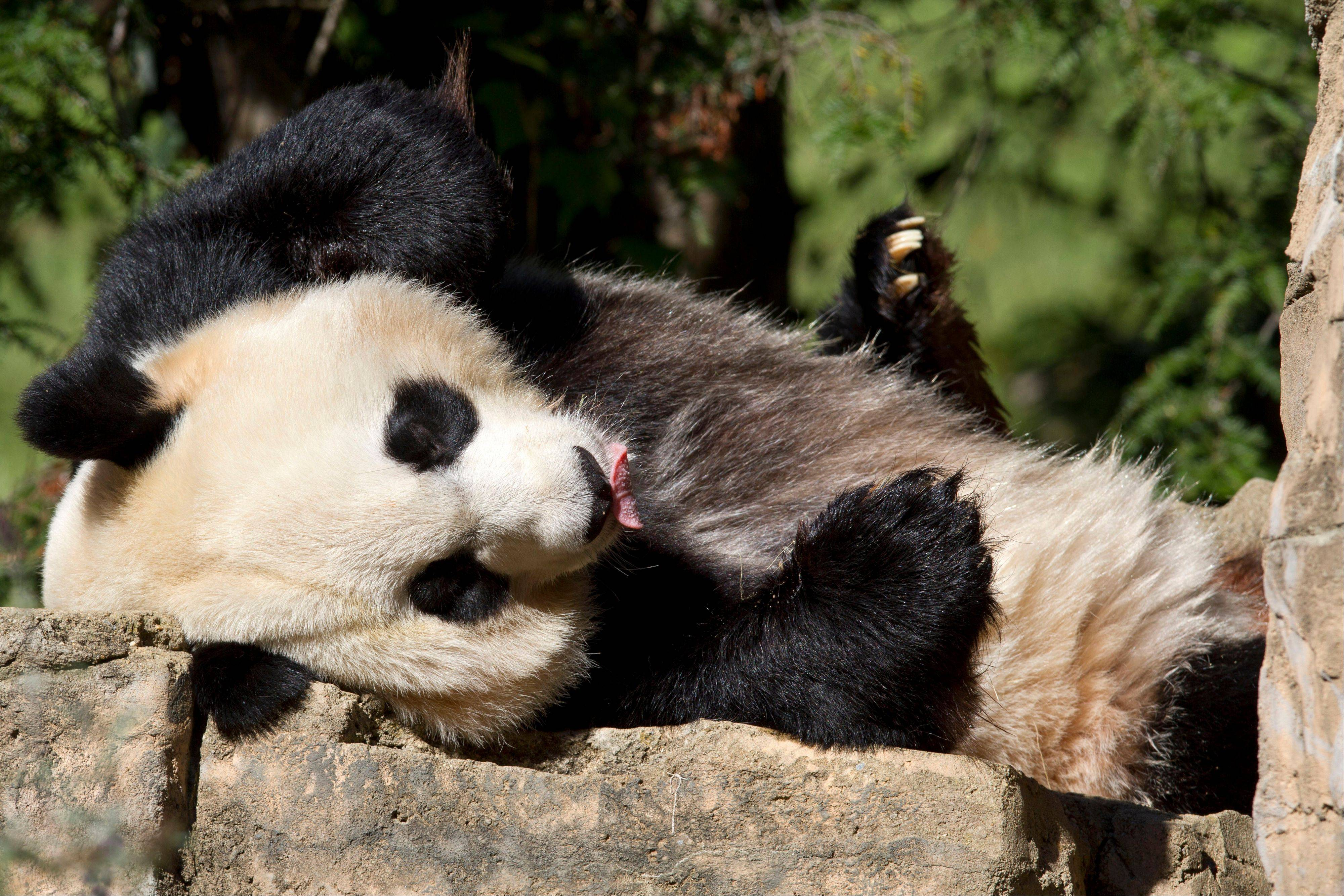 Mei Xiang, a giant female panda, rests at the National Zoo in Washington.
