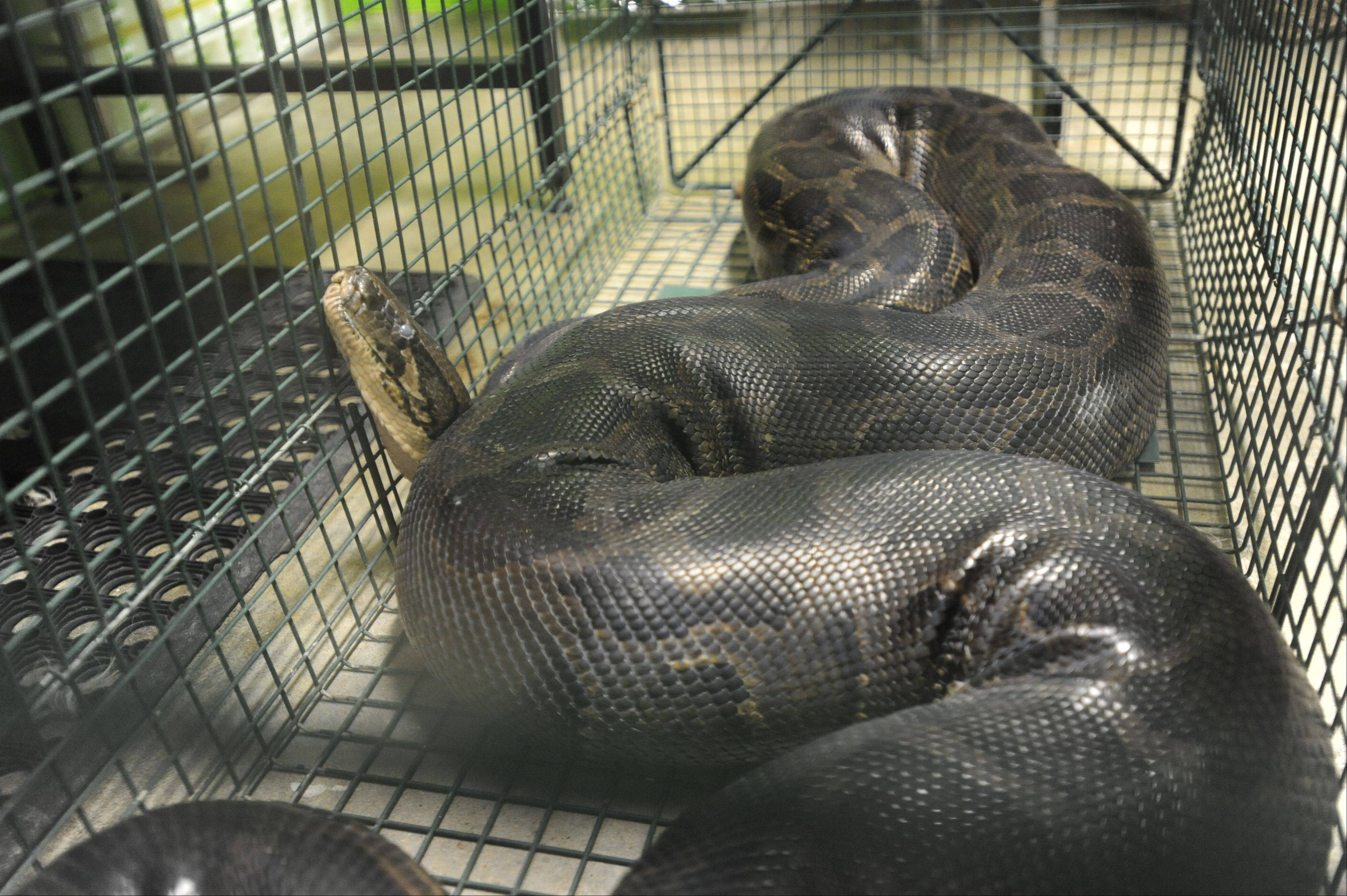 These are snakes Beaumont, Texas police seized on Monday after several sightings. Among the snakes was this 12 to 13 foot Burmese python.