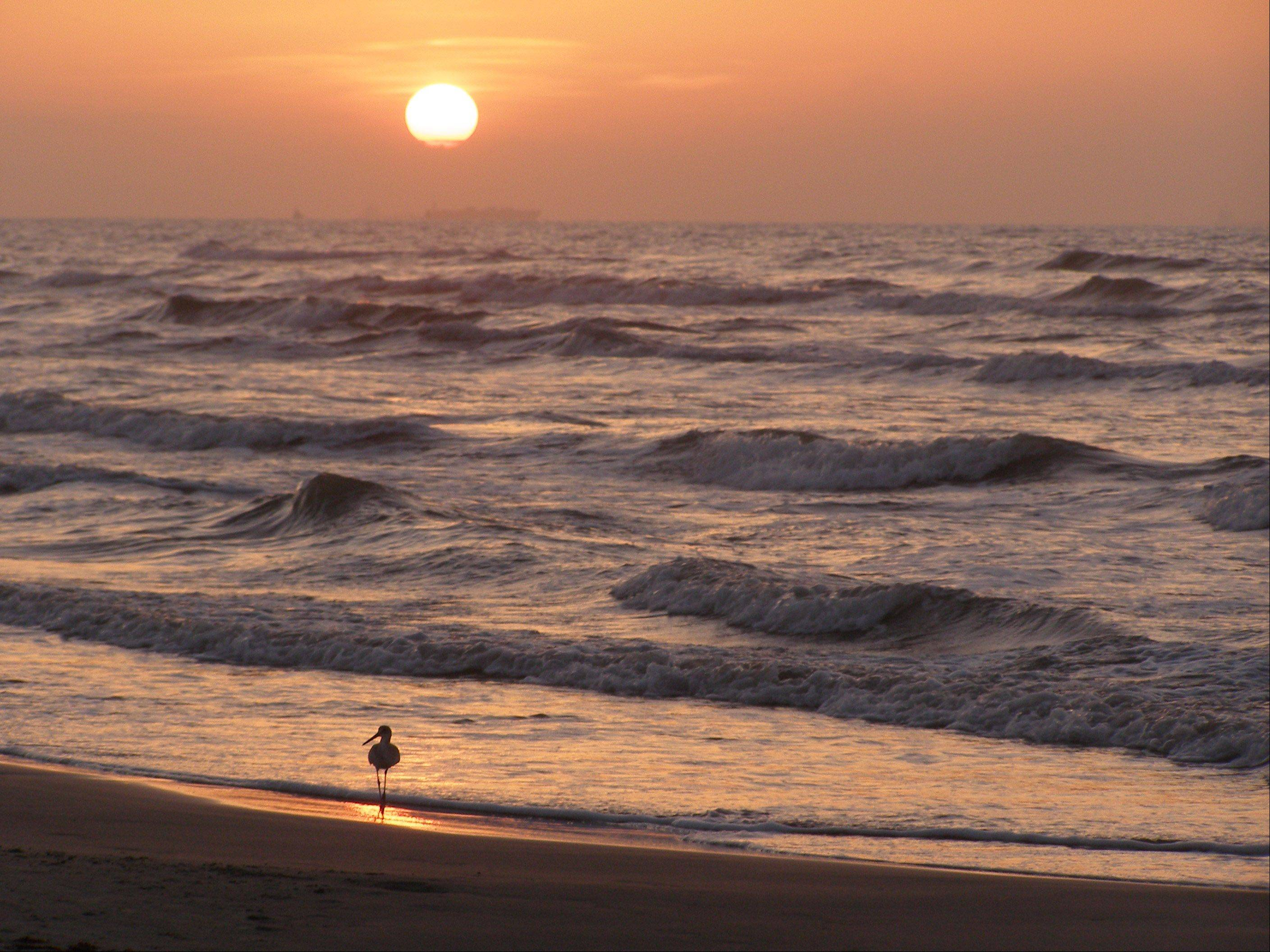 A bird takes a morning dip in the surf at sunrise in Port Aransas, Texas on August 8th.