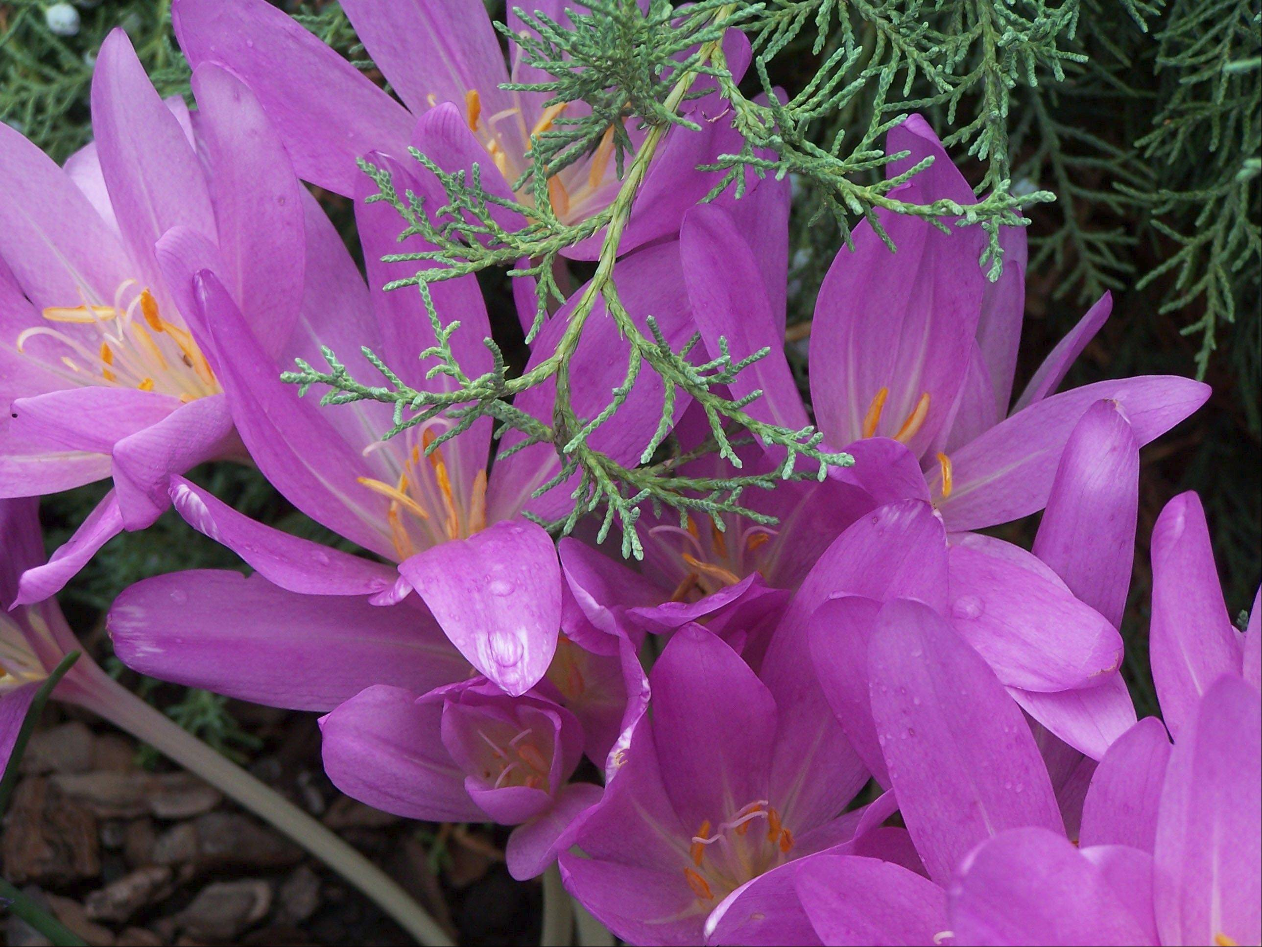 Colchicum brightens the September garden.